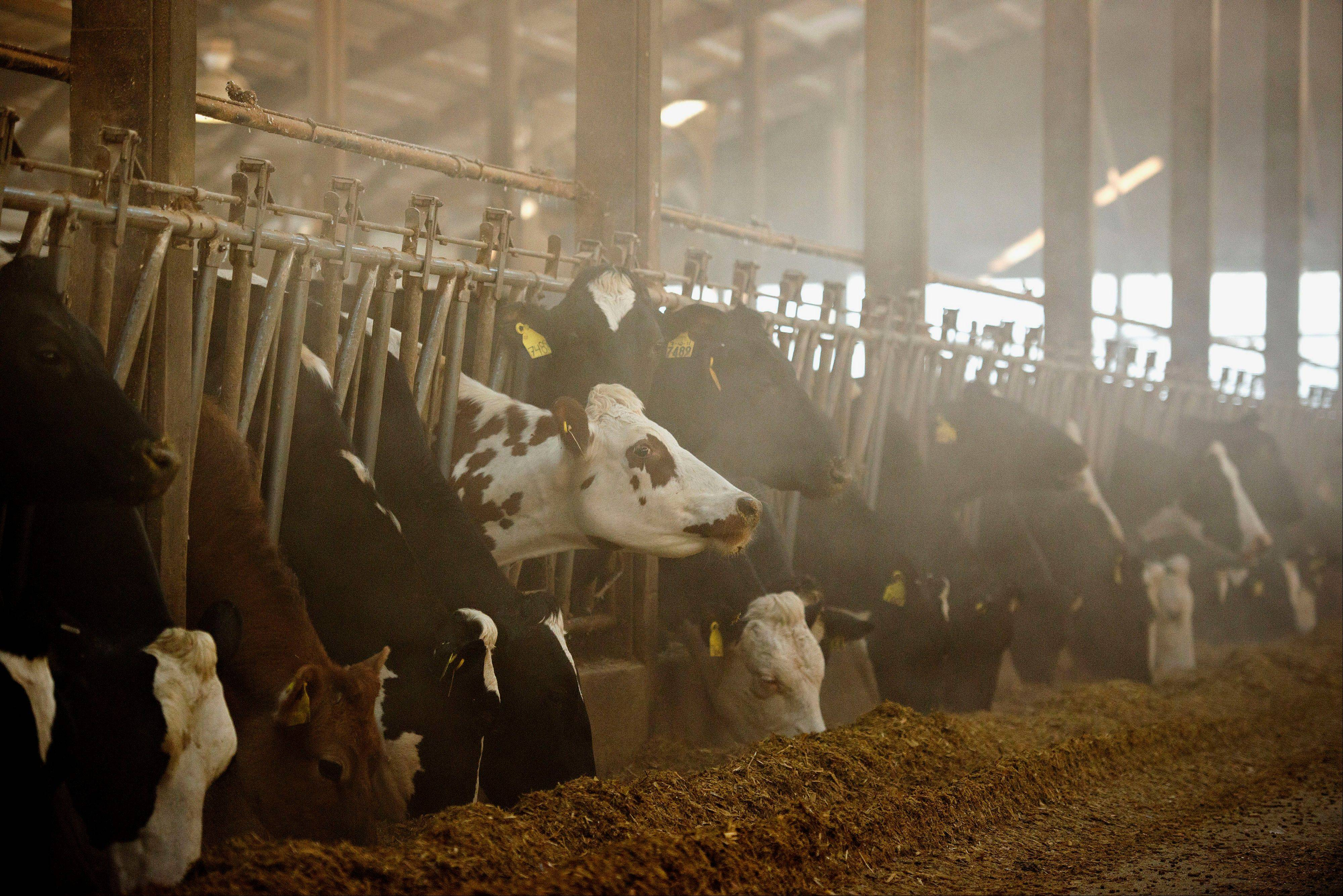 Cattle feed in a barn at Hunter Haven Dairy Farm in Pearl City, Illinois, U.S., on Tuesday, Jan. 28, 2014.