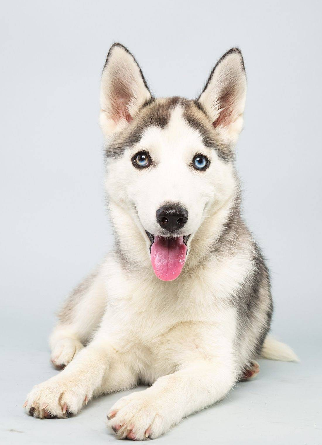 "Suri, a Siberian husky, is one of the starters in ""Puppy Bowl X,"" airing at 2 p.m. Sunday on Animal Planet."