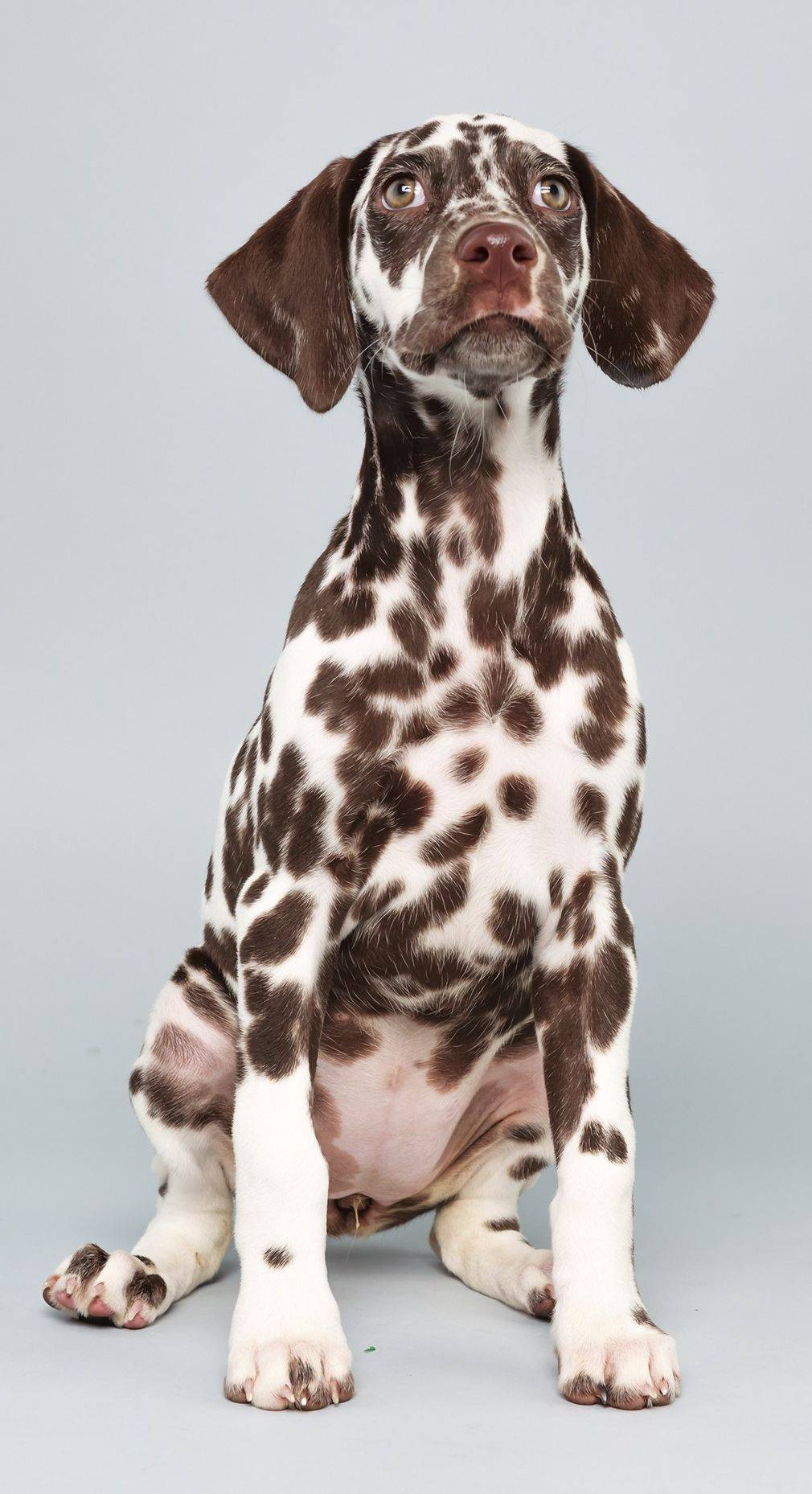 "This Dalmatian, Aurora, will hit the puppy field Sunday in Animal Planet's ""Puppy Bowl X."""