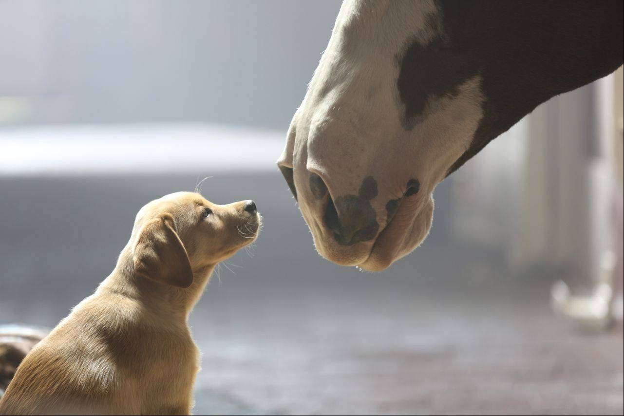 "This undated frame grab provided by Anheuser-Busch shows the company's 2014 Super Bowl commercial entitled ""Puppy Love,"" The ad will run in the fourth quarter of the game."
