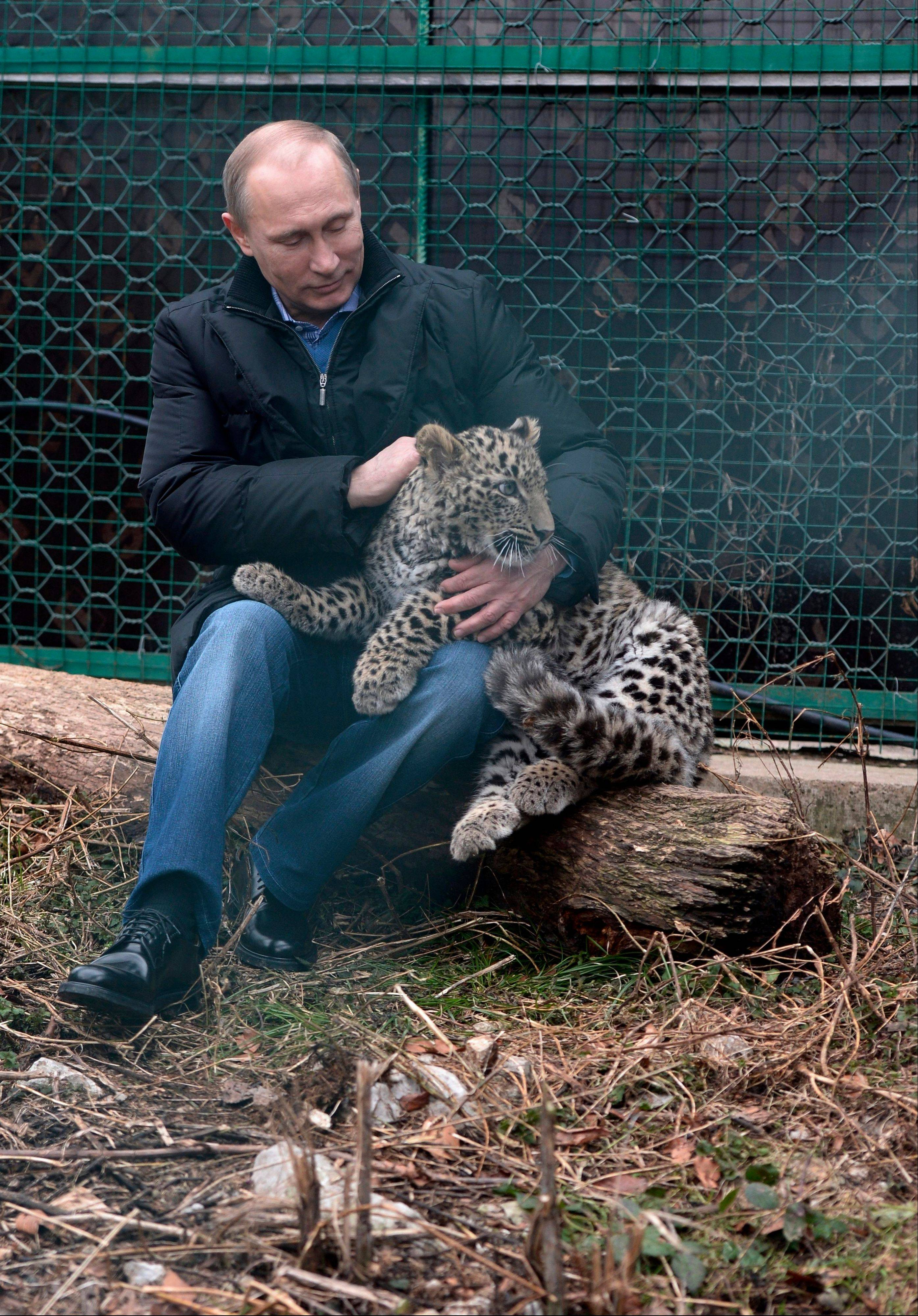 Russian President Vladimir Putin pets a snow leopard cub at the snow leopard sanctuary in the Russian Black Sea resort of Sochi Tuesday. Putin checked in Tuesday at a preserve for endangered snow leopards and visited a group of cubs born last summer in the mountains above the growing torrent of activity in Sochi for the Winter Games.