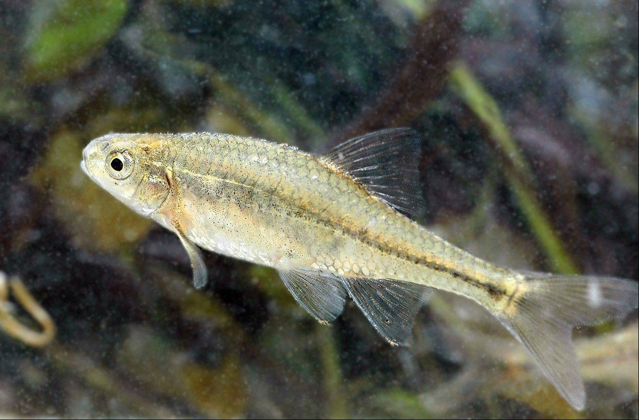 An Oregon chub at the William L. Finley National Wildlife Refuge near Corvallis, Ore. The tiny fish found only in Oregon has become the first fish in the country removed from Endangered Species Act protection because it no longer faces extinction. It was put on the endangered species list 21 years ago.
