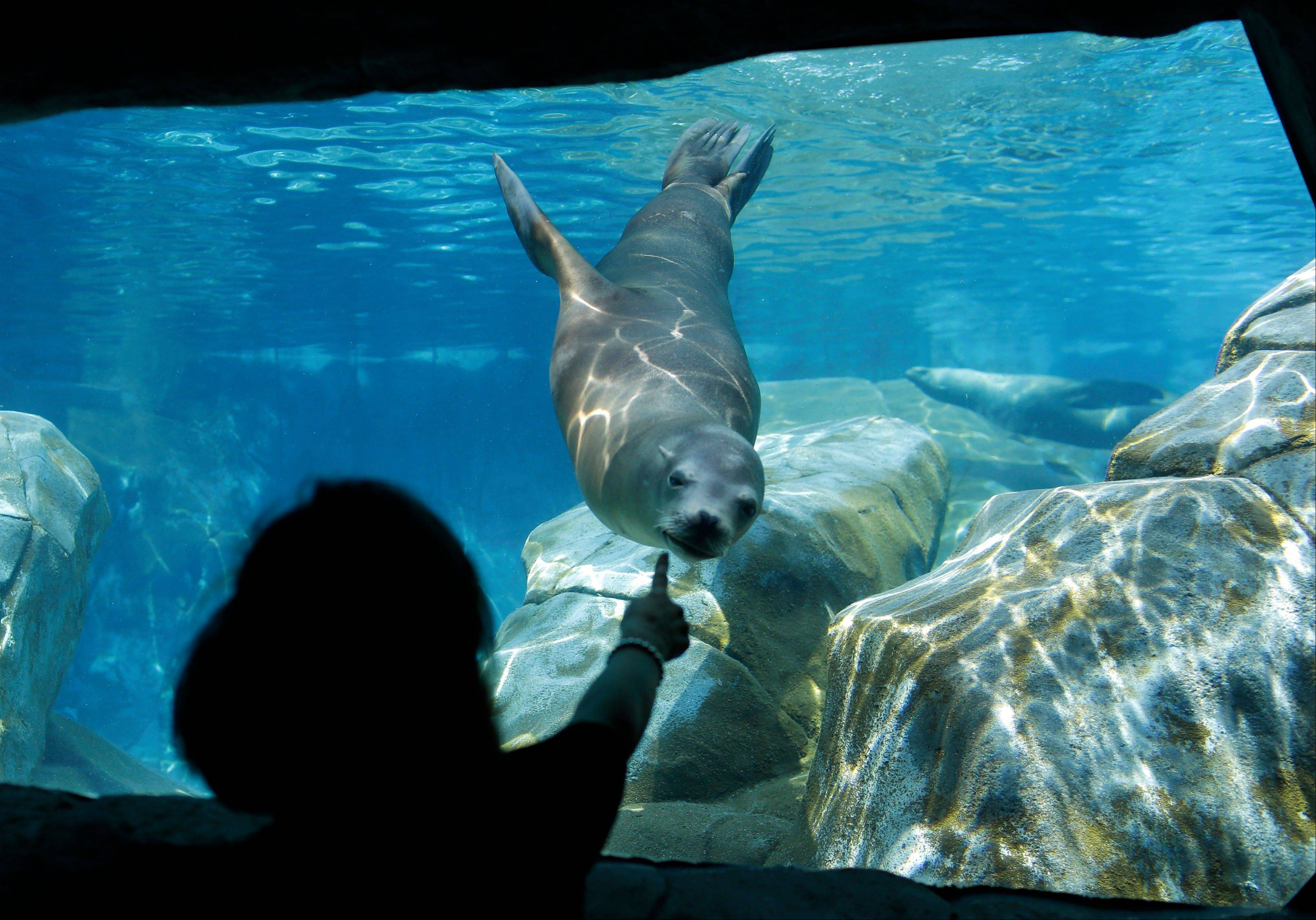 A visitor interacts with a sea lion at the St. Louis Zoo, which is one of the few in the nation with no admission fee.