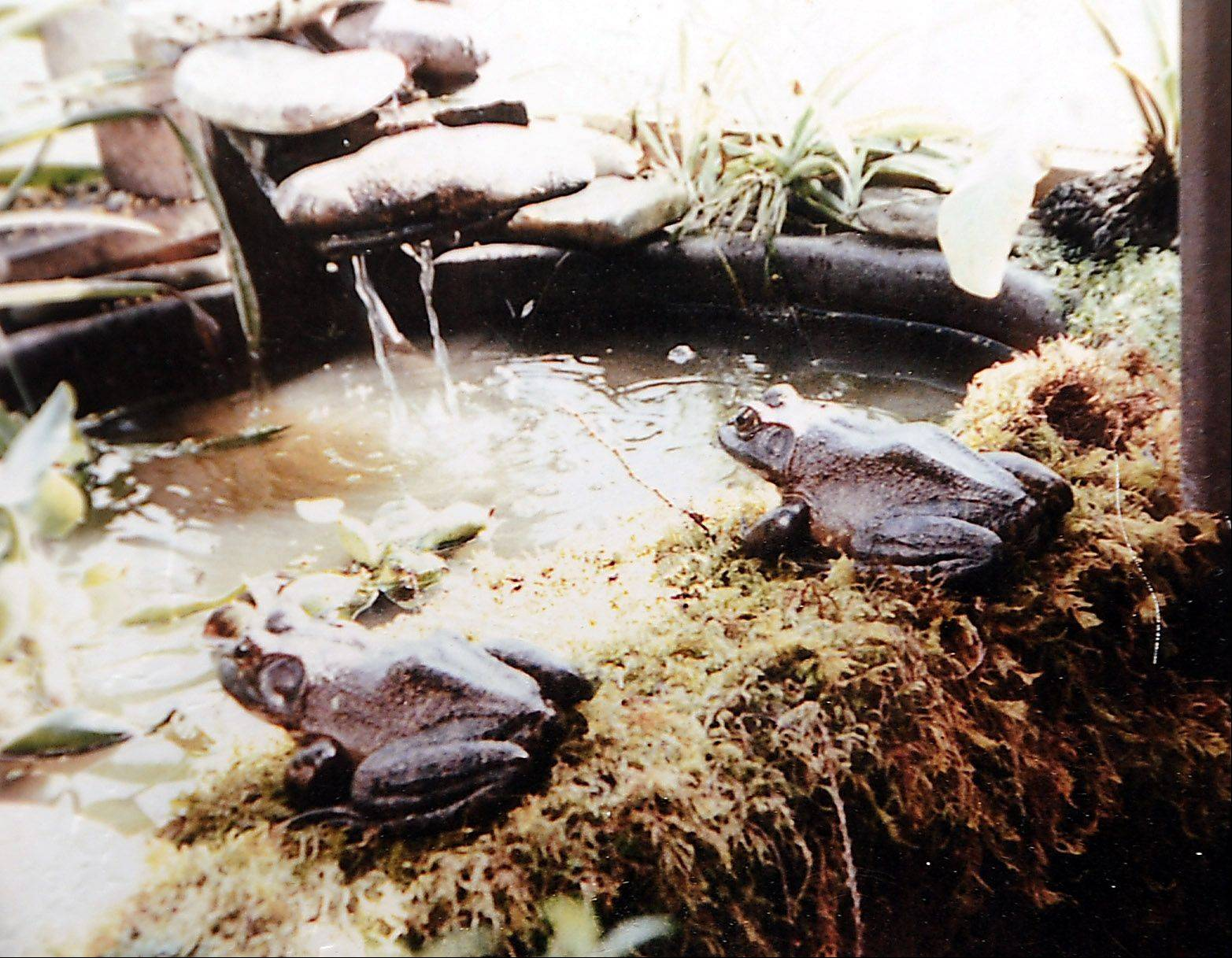 In addition to more than 100 plants, the greenhouse that Bill and Penny Bailey built onto the back of their Rolling Meadows home once was home to these two large bullfrogs.