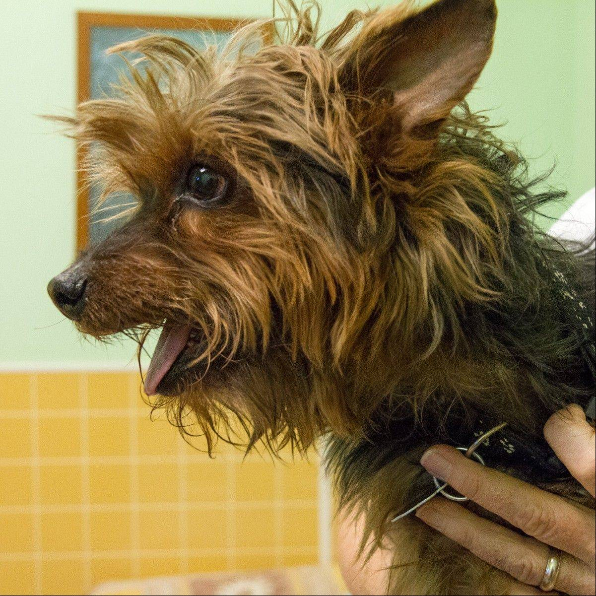 Wilson, a 9-year-old, male, silky terrier mix, weighs about 13 pounds. He is seeking a forever home. Could it be yours?