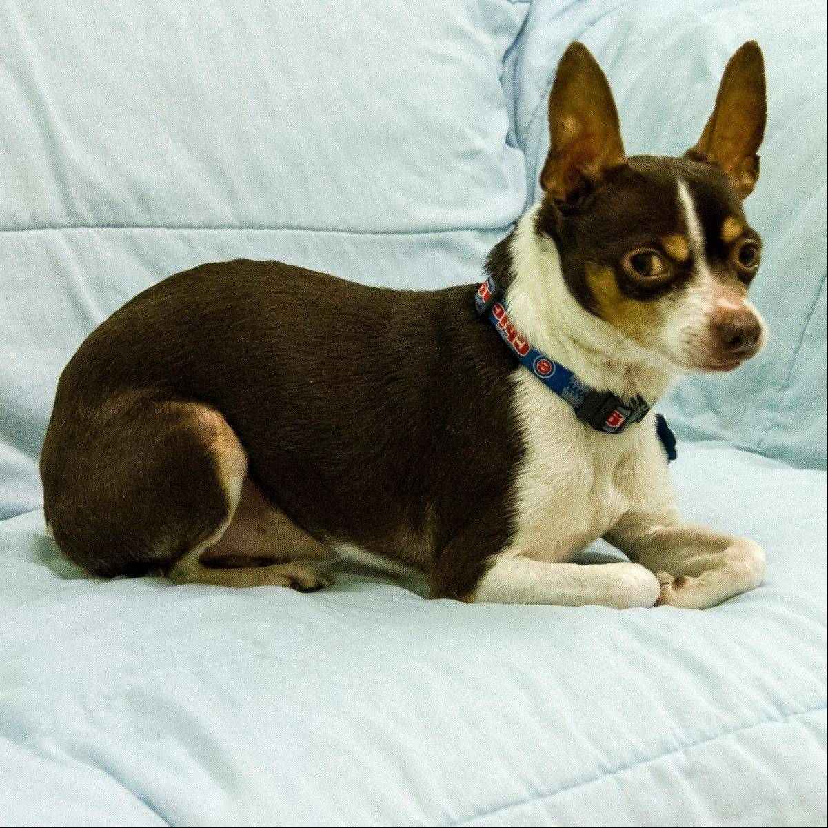 Leroy, a 7-year-old, male Chihuahua, weighs in at 10 pounds. Wouldn't you like to take this cute little guy home?