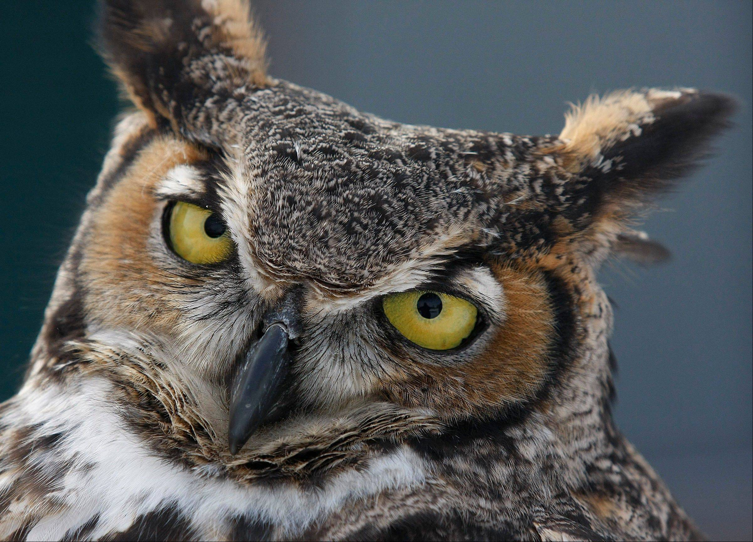 A great horned owl at the Rock Springs Nature Center in Decatur.