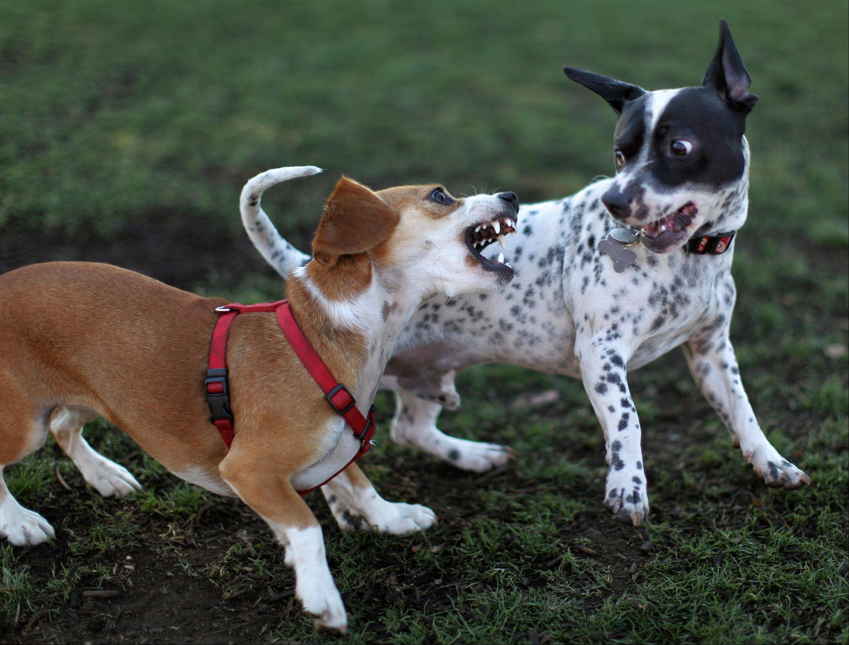 When dogs are playing, snarling and teeth bared usually indicates play is getting too rough, too intense. Problems tend to arise because not everyone recognizes that safe dog play requires human guidance.