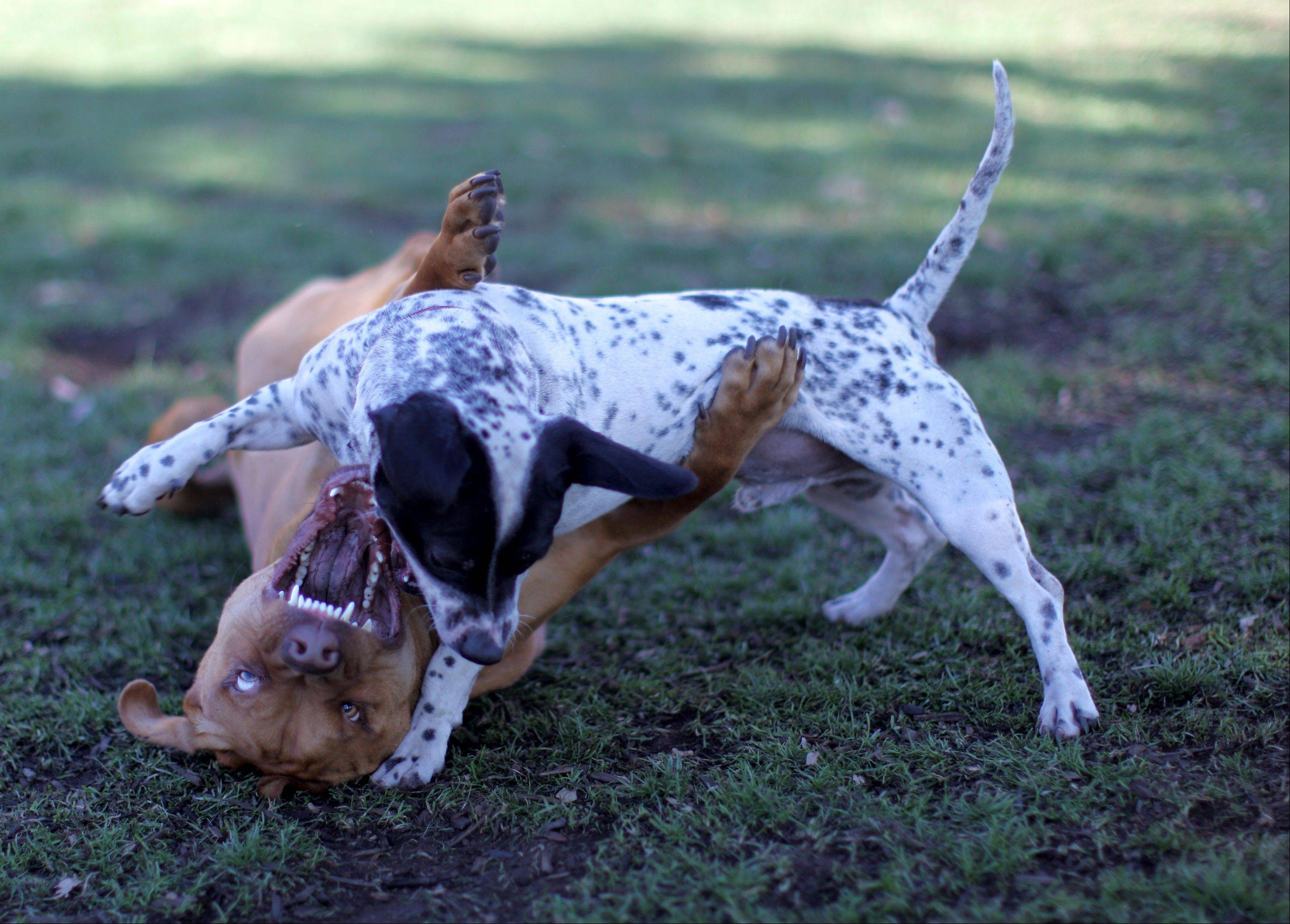 Wrestling play among dogs needs to involve turn-taking and not one dog getting pinned for a long time. To keep dog play safe and fun, you need to recognize when to calm the situation, and this should start before you're even in the park.