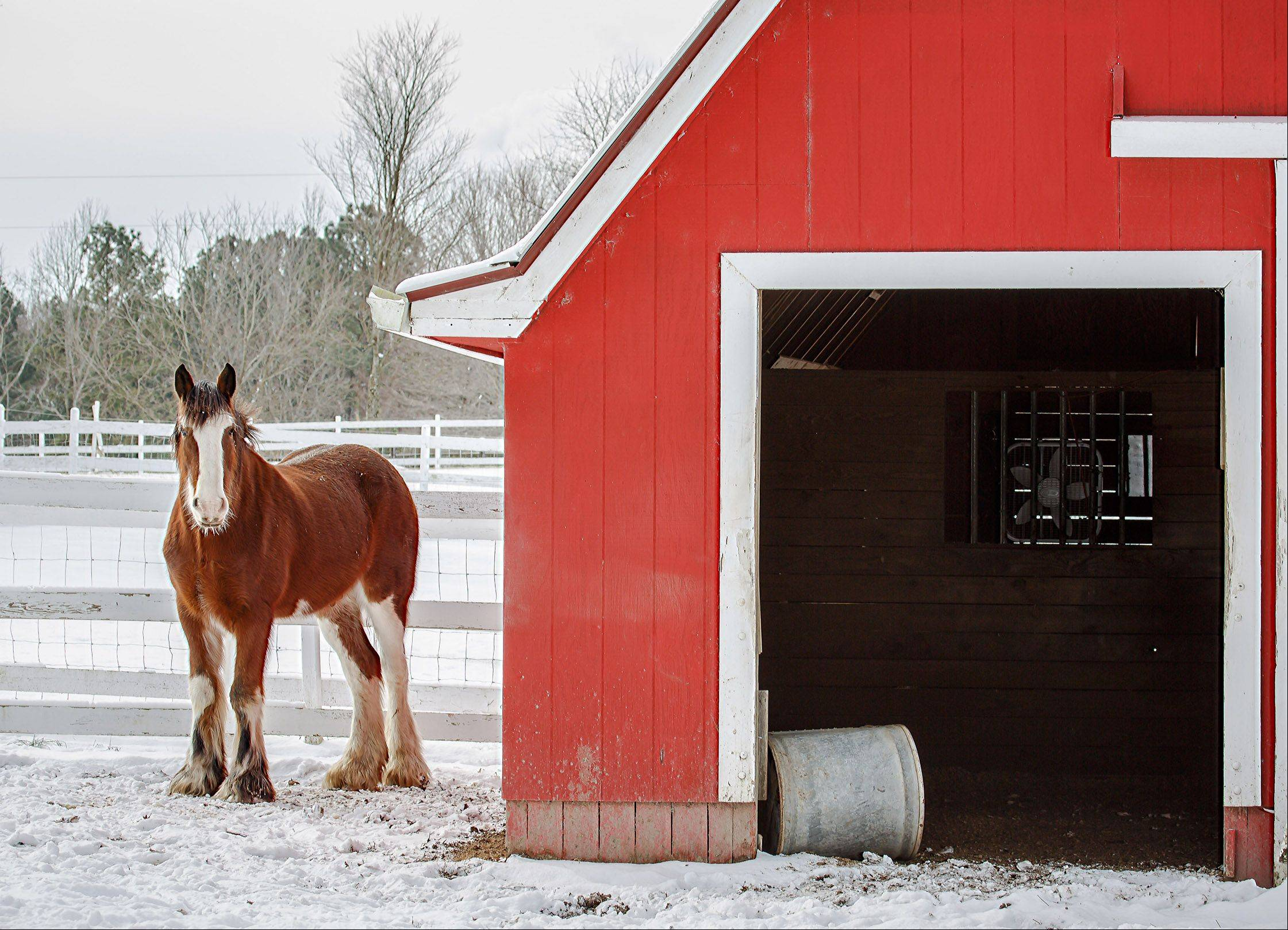 A horse stands in the freshly fallen snow, next to his red barn in rural Apex, North Carolina on January 29th.