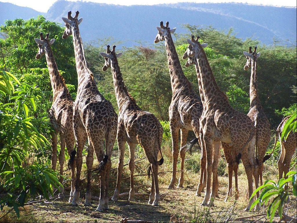 Several giraffes seem to sense that something is amiss as they stay absolutely motionless and focused in the Ngorongoro Crater Conservation Area in Tanzania, Africa.