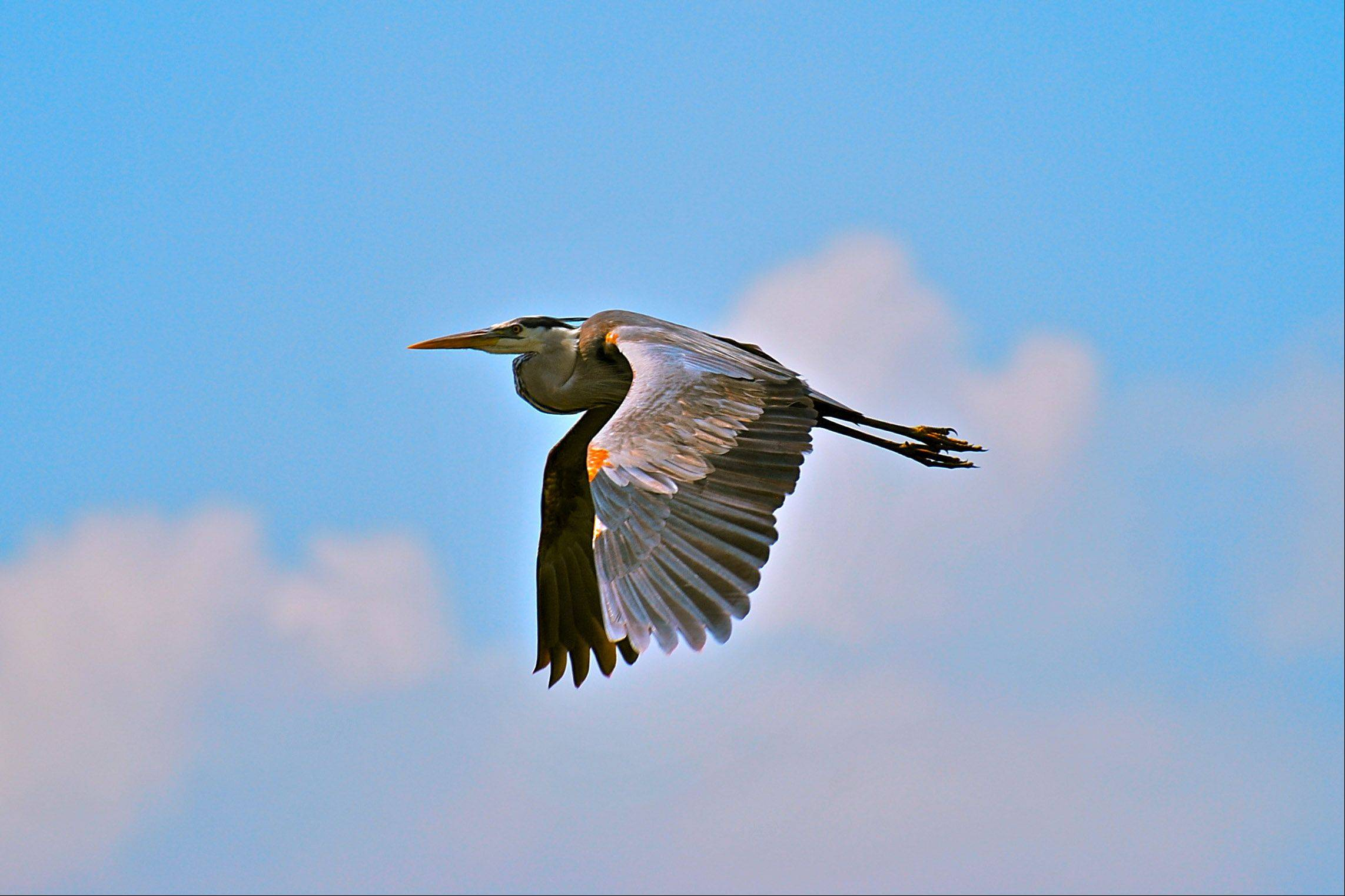 I took the picture of this heron in flight while at the Sabin National Wildlife Refuge on the gulf coast of Louisiana in April of 2010. The following week the disastrous platform fire and oil spill started. I hope these animals all survived.