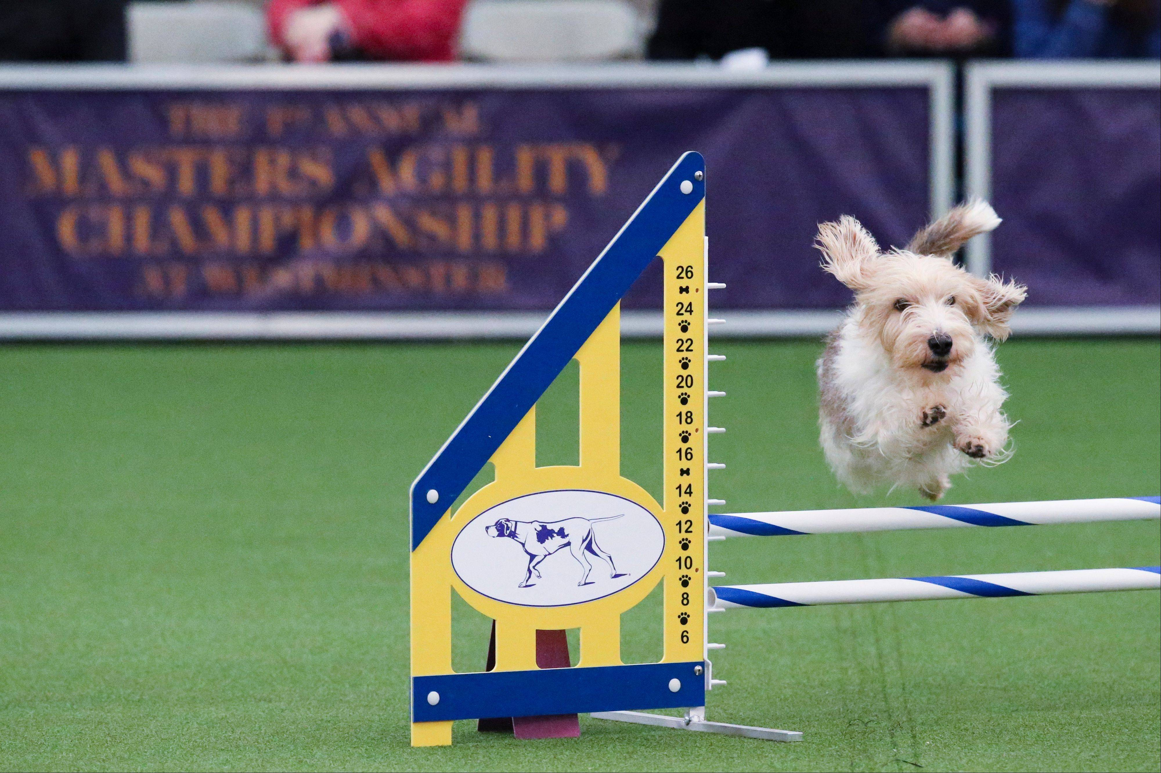Salsa the petit basset griffon vendeen takes a jump during the Masters Agility Championship at Westminster.