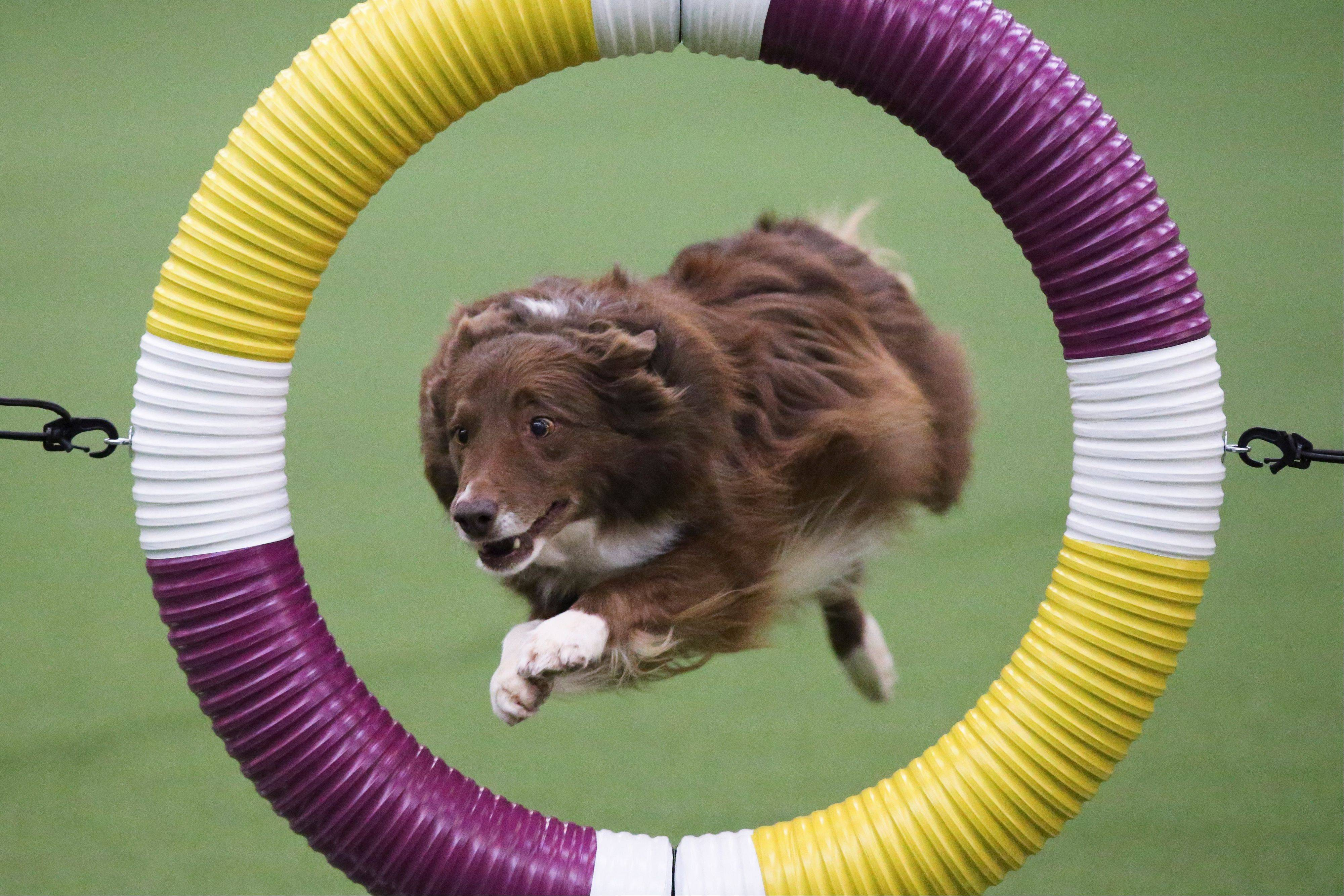Rapture, a border collie, clears the tire obstacle during the Masters Agility Championship at Westminster.