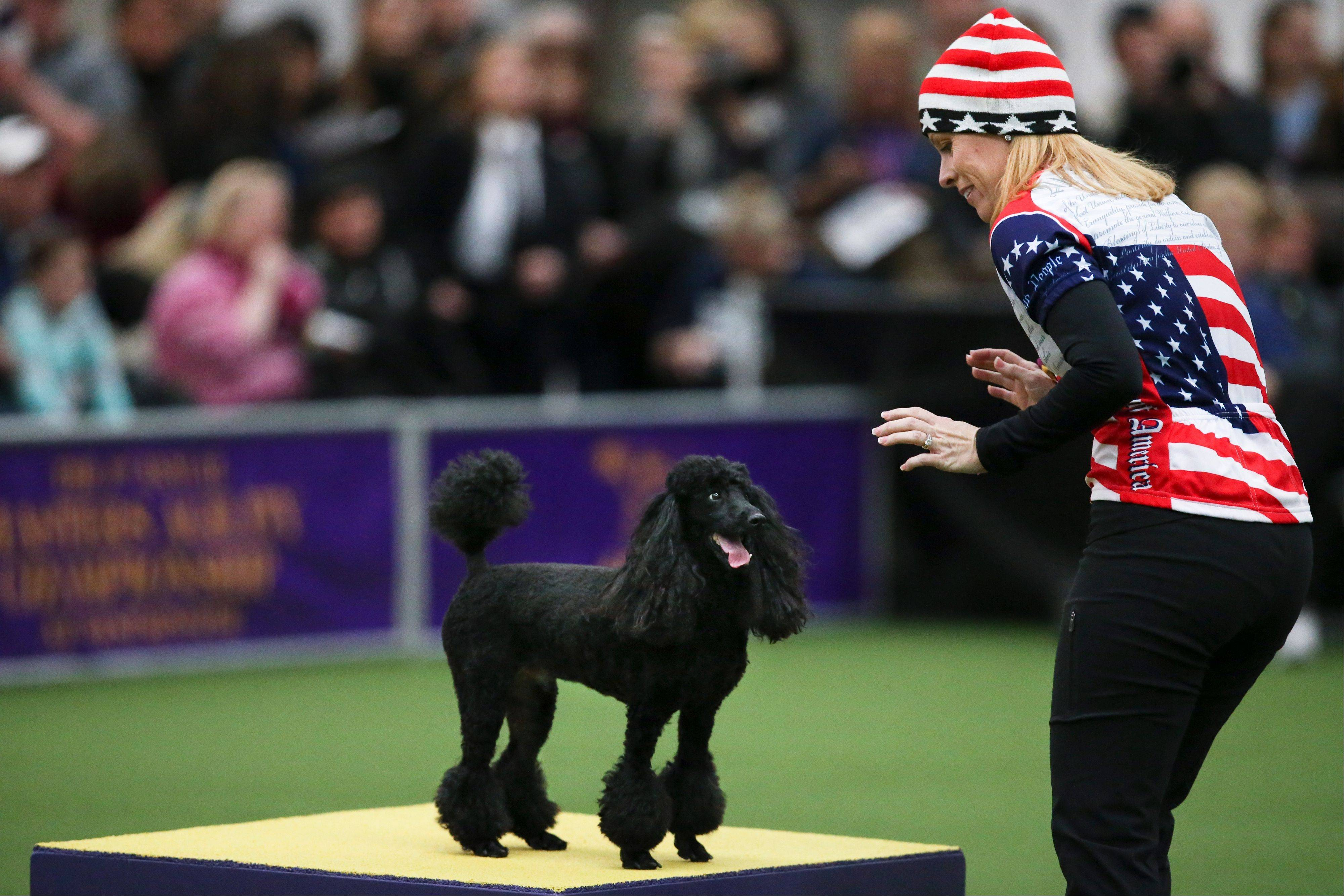Diego, a miniature poodle, stops on the pause table alongside Stephanie Fleming during the Masters Agility Championship.