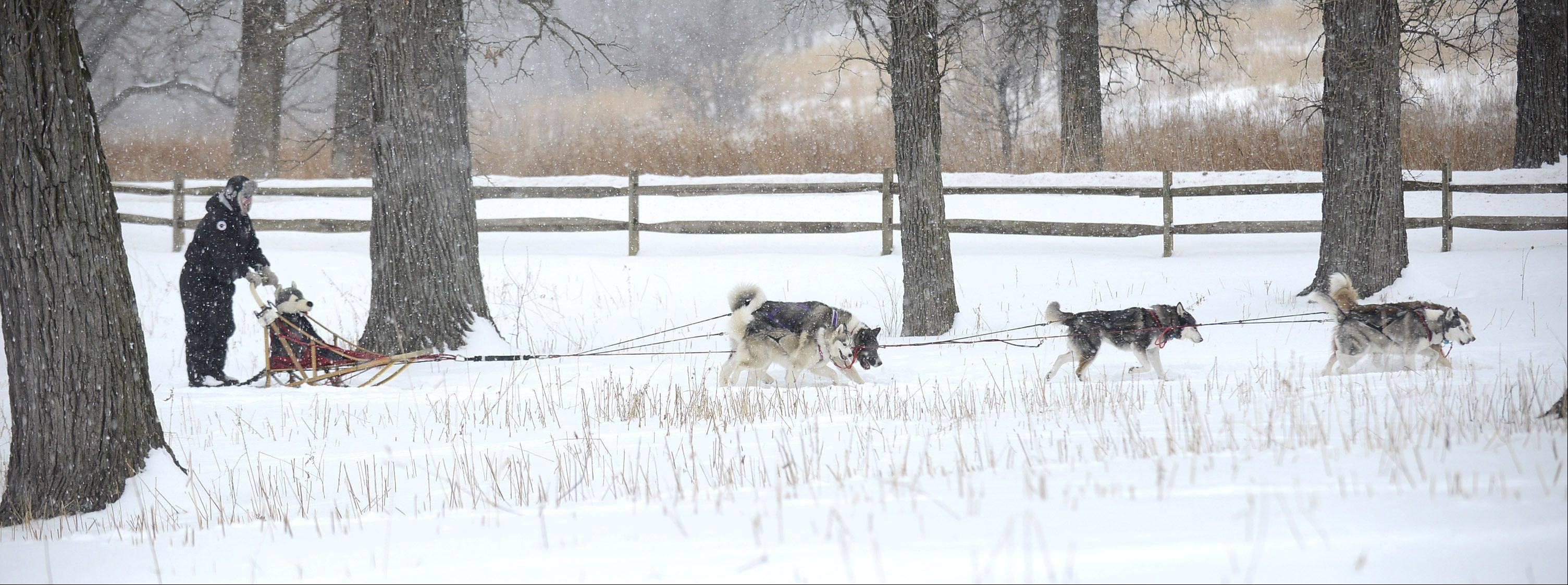Jason Hussong of Machesney Park leads the Free Spirit Siberian Rescue sled demo team at Hickory Knolls Discovery Center in St. Charles on Saturday. He brought two teams from the Harvard-based group to share the sport with the public. Most of the dogs are rescues.