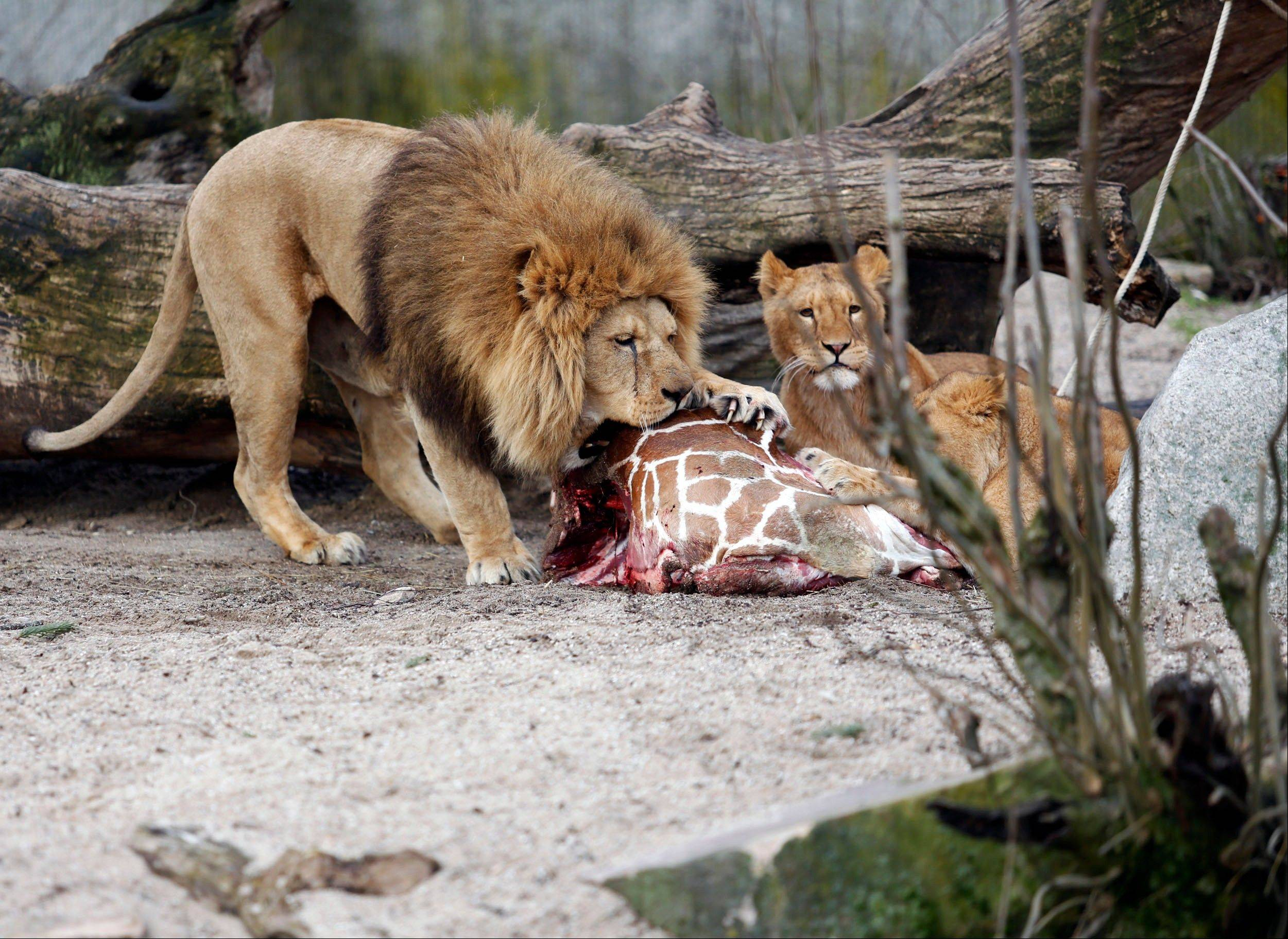 The carcass of a male giraffe is eaten by lions after he was put down in Copenhagen Zoo on Sunday after the zoo turned down offers from other zoos and from a private individual to save the life of the healthy animal.