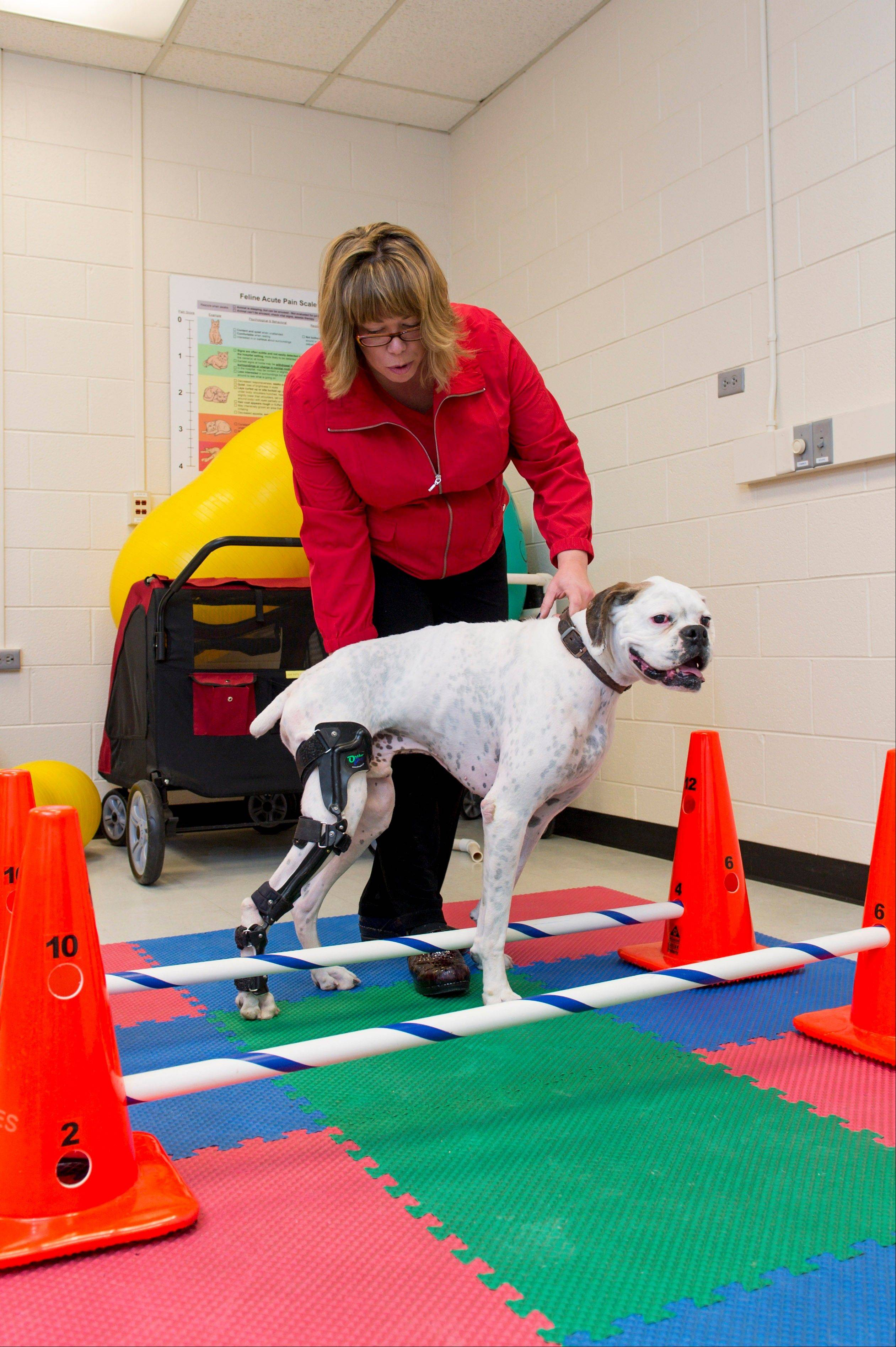 Rehabilitation therapist Sasha Foster assists patient Nate with Cavaletti exercises to strengthen his stifle (knee) due to a torn cranial cruciate ligament (known as an ACL in humans) at the Small Animal Orthopaedics at the College of Veterinary Medicine and Biomedical Sciences, in Fort Collins, Colo.