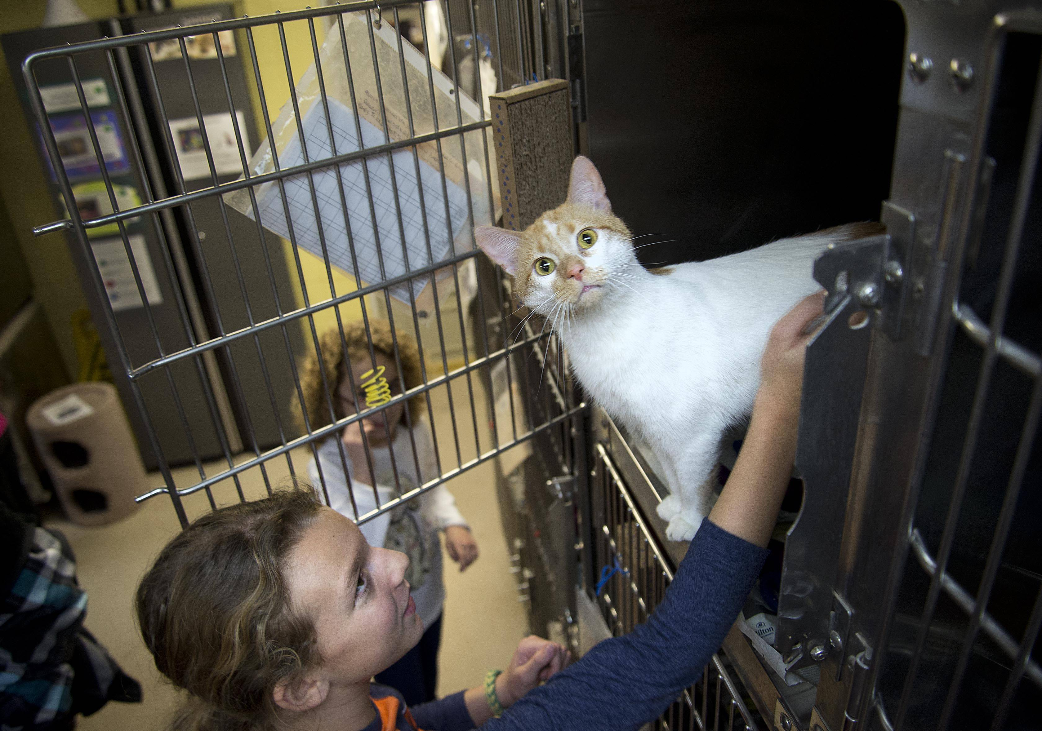 Cailey Johns, 10, of St. Charles scratches a cat at the Anderson Animal Shelter in South Elgin. Gov. Pat Quinn and Comptroller Judy Baar Topinka encourage residents to rescue a pet from a shelter.