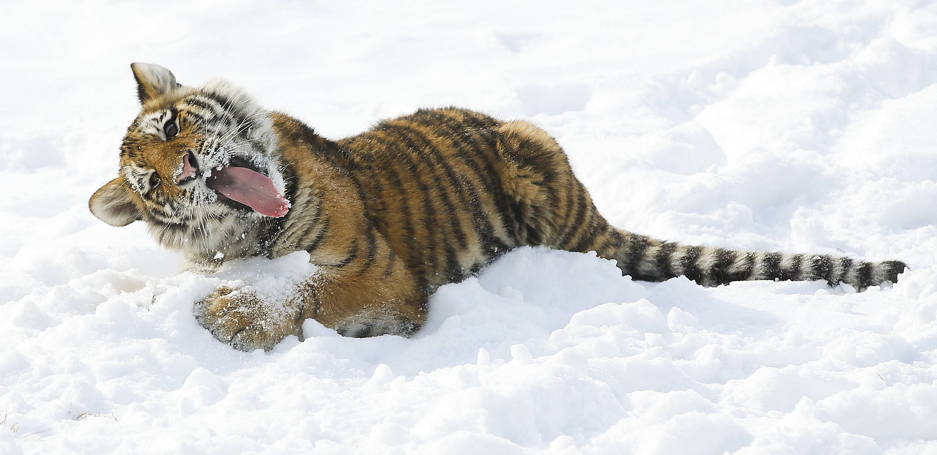 An Amur tiger plays in the snow at the Sedgwick County Zoo, Wednesday, Feb. 5, 2014, in Wichita, Kan.