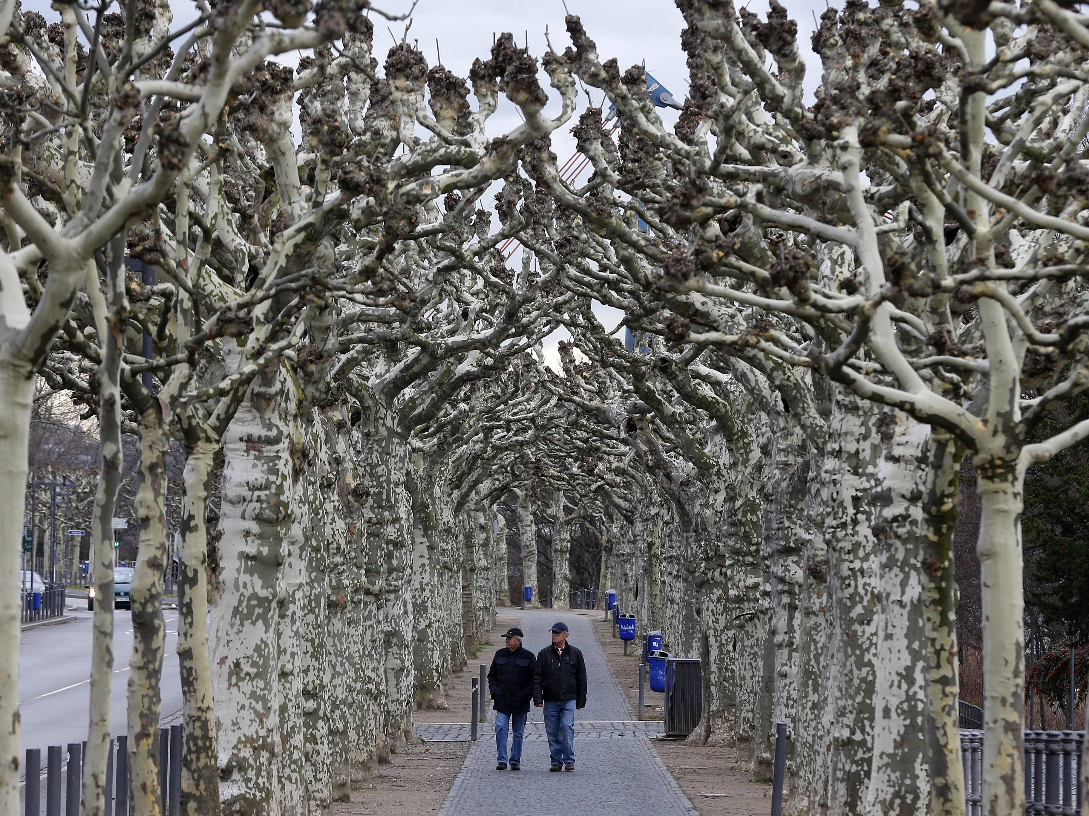 Two men walk along an alley of plane trees in Frankfurt, Germany, Friday, Feb. 7, 2014. Mild temperatures and strong winds are forecast for Germany for the next days.