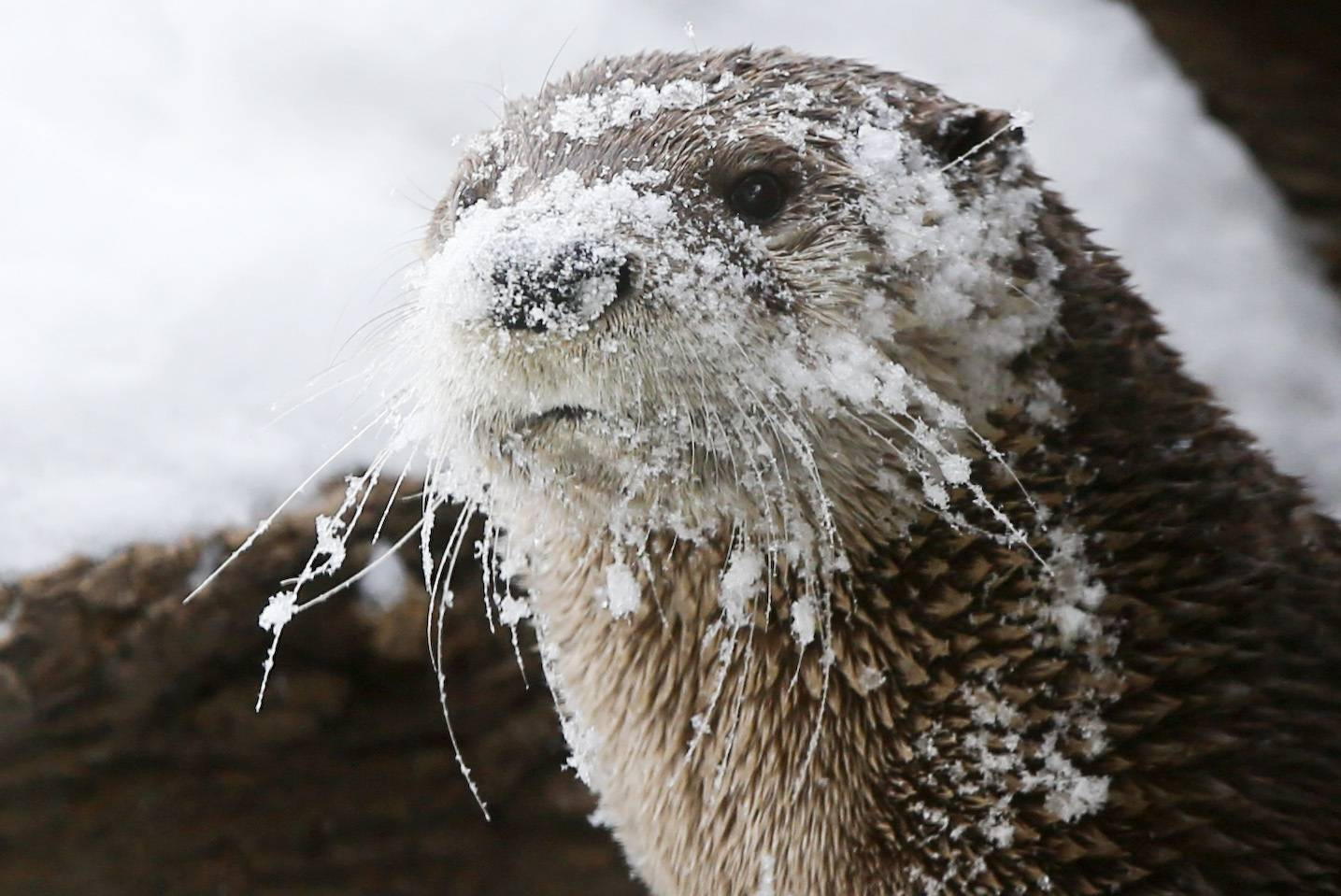 A river otter at the Sedgwick County Zoo is covered in snow after playing with a snowman created on Wednesday, Feb. 5, 2014, in Wichita, Kan.