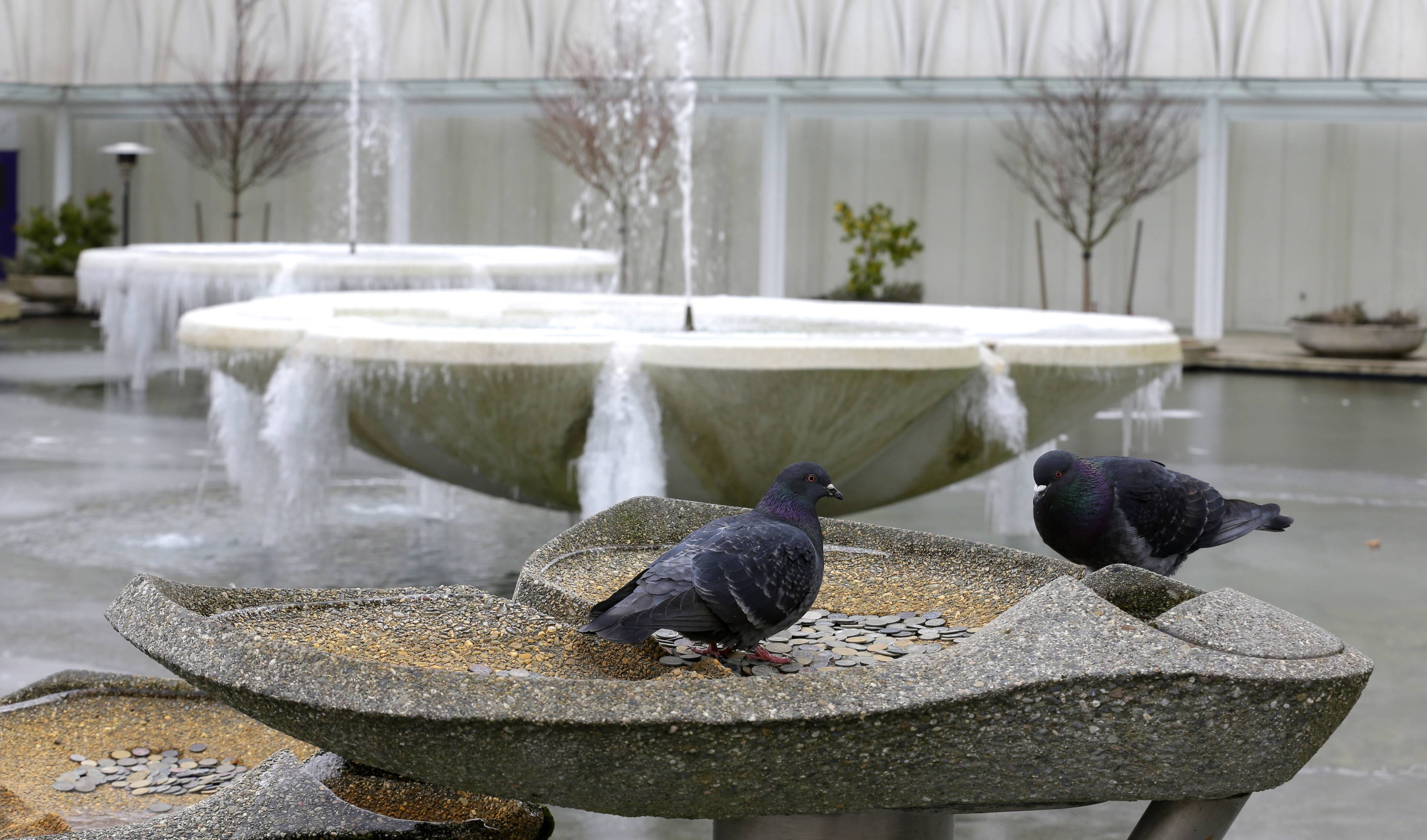 Two birds look for food in near two frozen fountains caked with ice at the Pacific Science Center in Seattle, Thursday, Feb. 6, 2014. Below-normal, frigid temperatures are forecast to continue into the weekend in Washington and then begin to moderate next week.