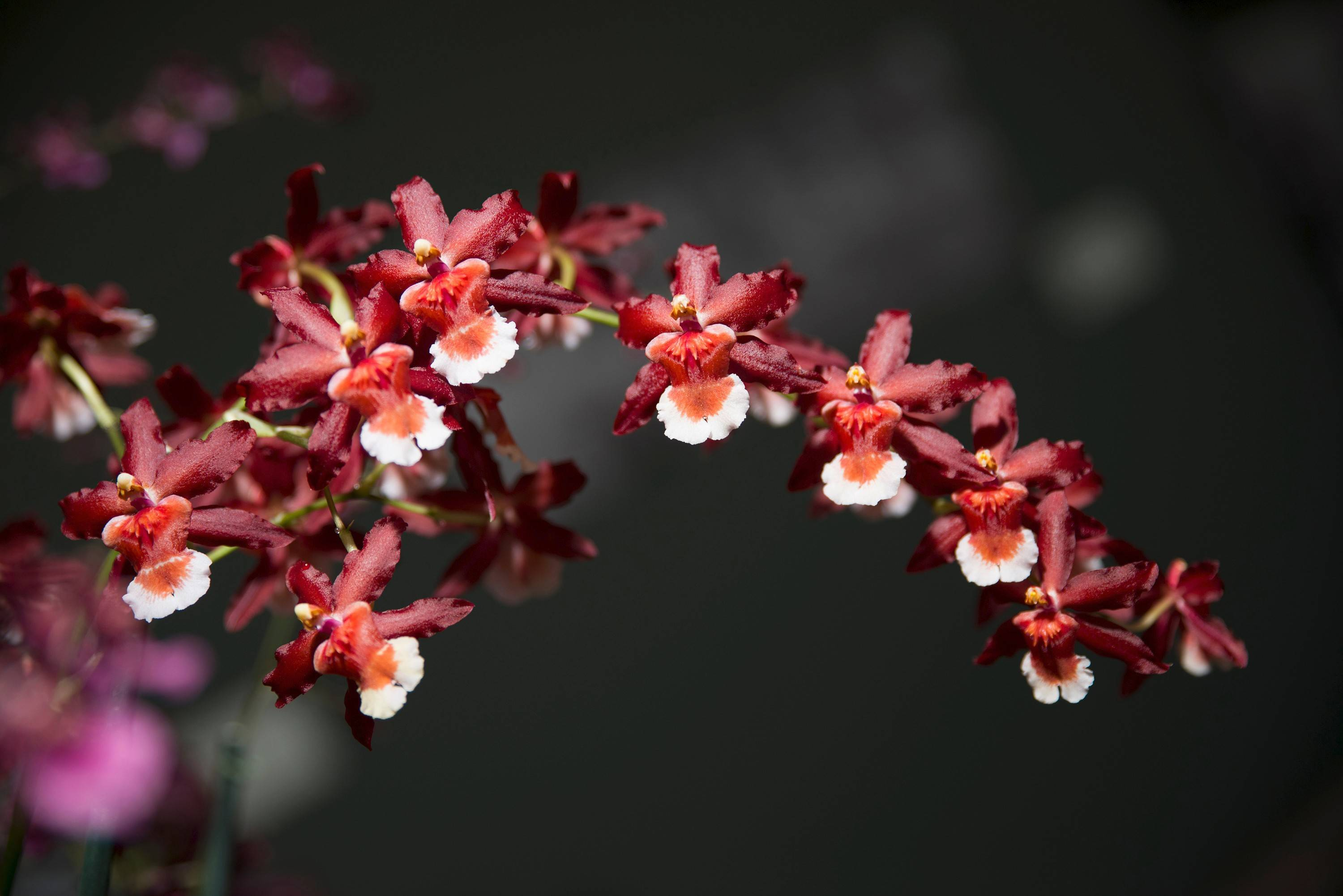 The Chicago Botanic Garden in Glencoe hosts The Orchid Show from Saturday, Feb. 15, to Sunday, March 16.