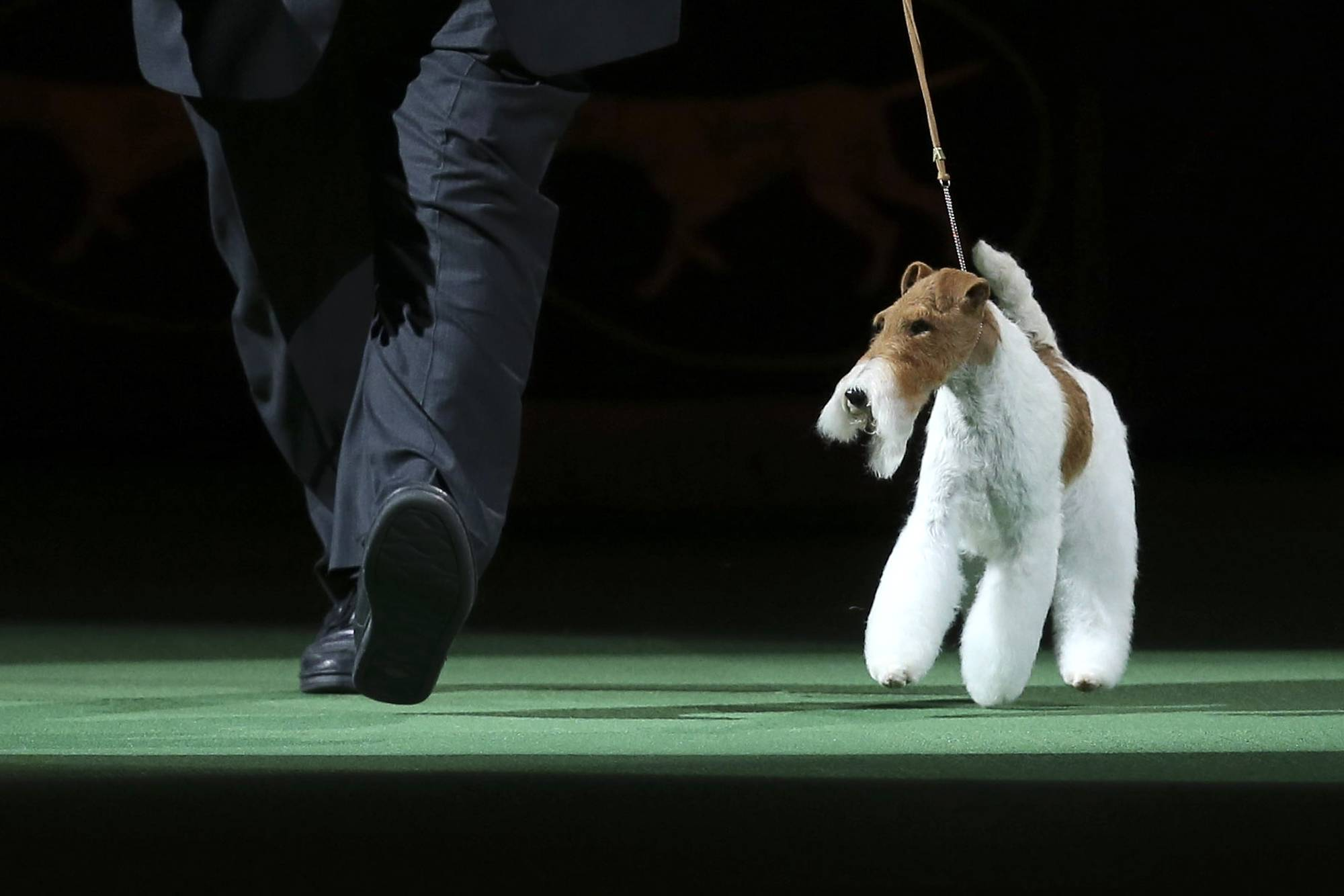 "Sky, a wire fox terrier, enters the ring during the best in show competition at the Westminster Kennel Club dog show Tuesday. Sky will have a walk-on role at Thursday night's performance of ""Kinky Boots."""
