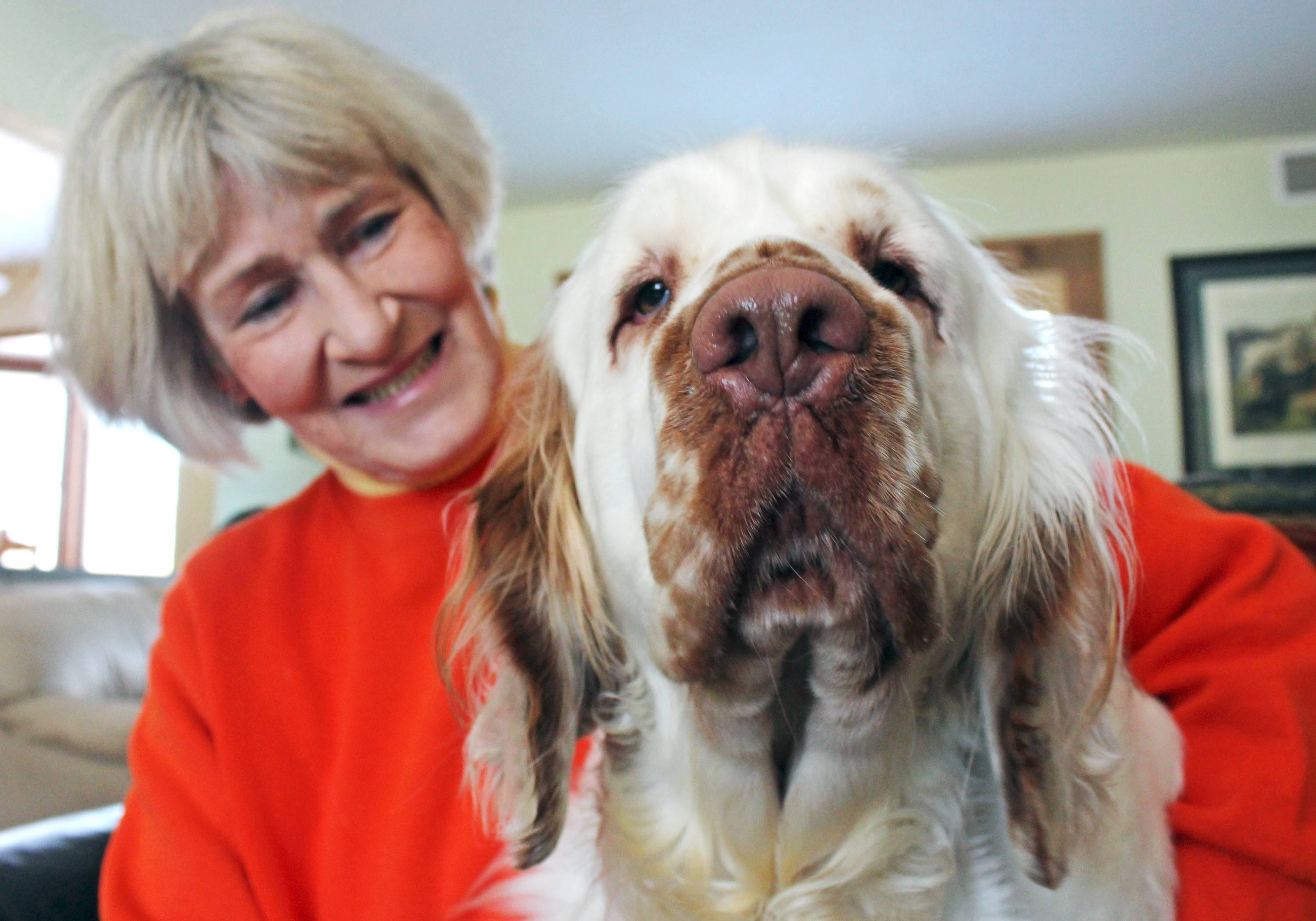 Marlo, a Clumber spaniel, sits next to Helen Marshall at her home in Ottawa, Wis. Marshall will walk with Marlo in the Friday, Feb. 14, parade that kicks off the National Pheasant Fest & Quail Classic, a trade show in Milwaukee for canines that point out, scare up and retrieve fowl.