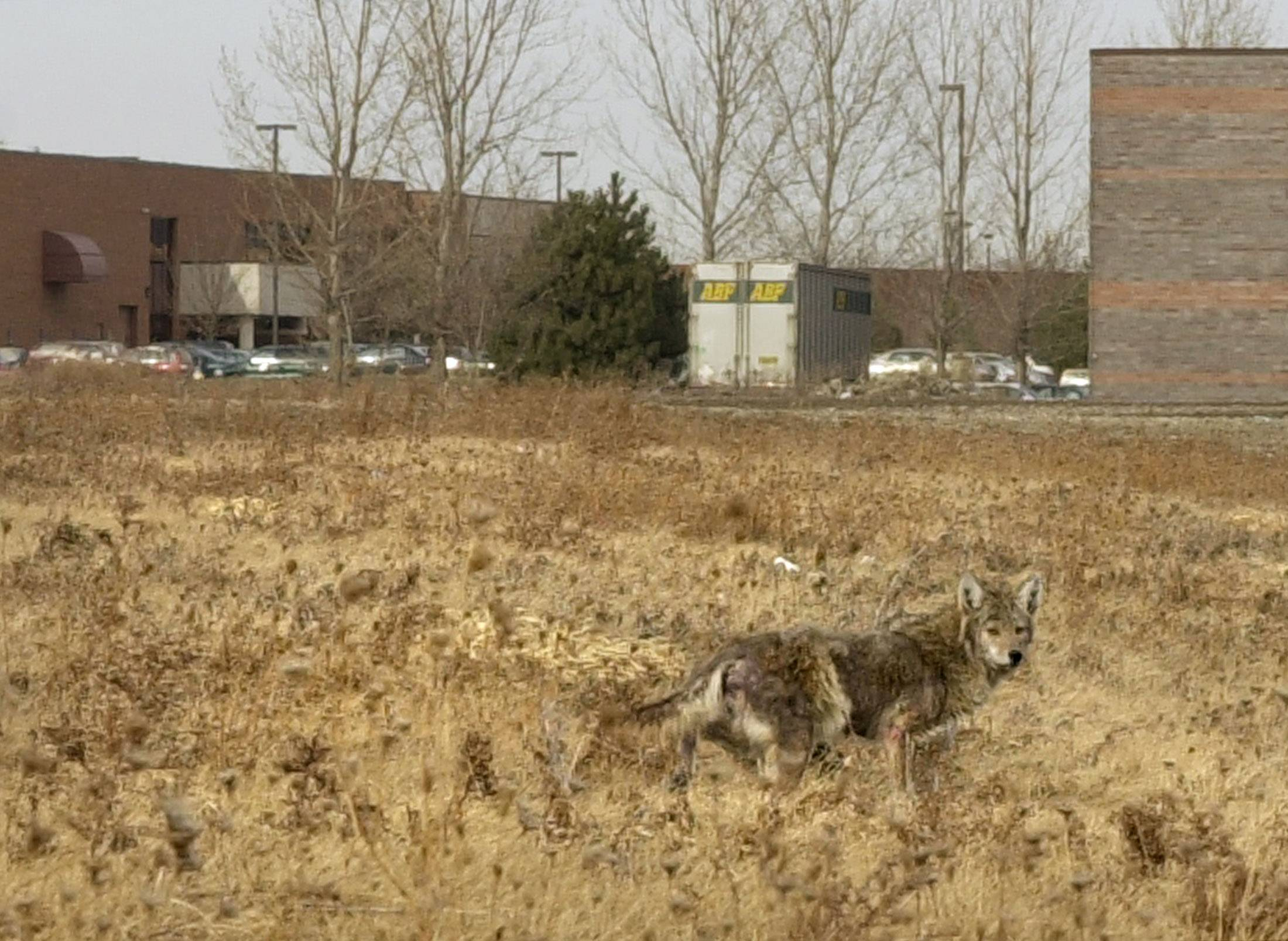 Officials in an Indianapolis suburb say they might hire trappers to deal with a surge in complaints about coyotes in the community.