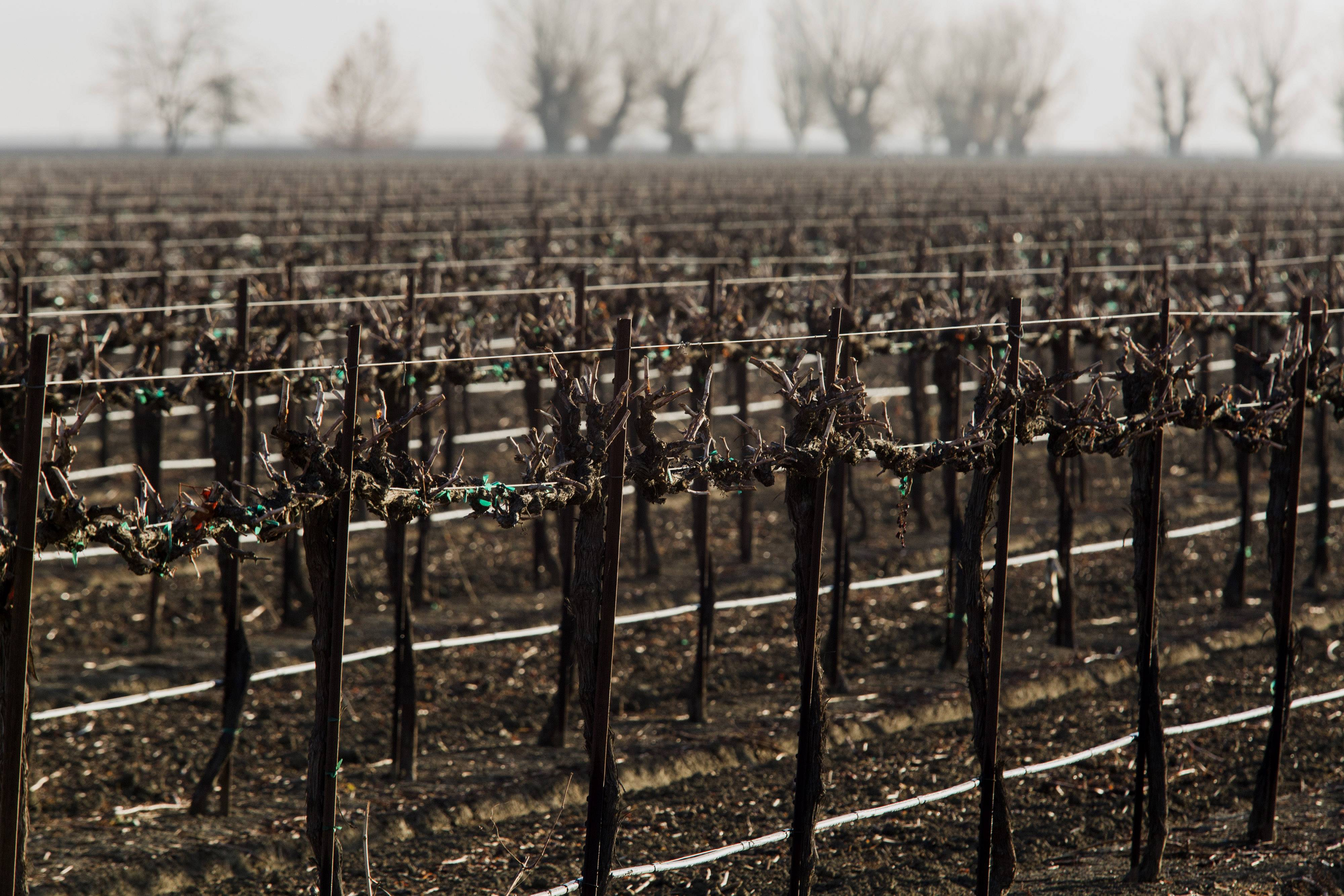 "Rows of grape vines stand near Mendota, California, U.S., on Tuesday. Governor Jerry Brown declared a state of emergency following the driest year on record and has said the worldís 10th largest economy may be on the verge of a multi-decade ""mega-drought."""