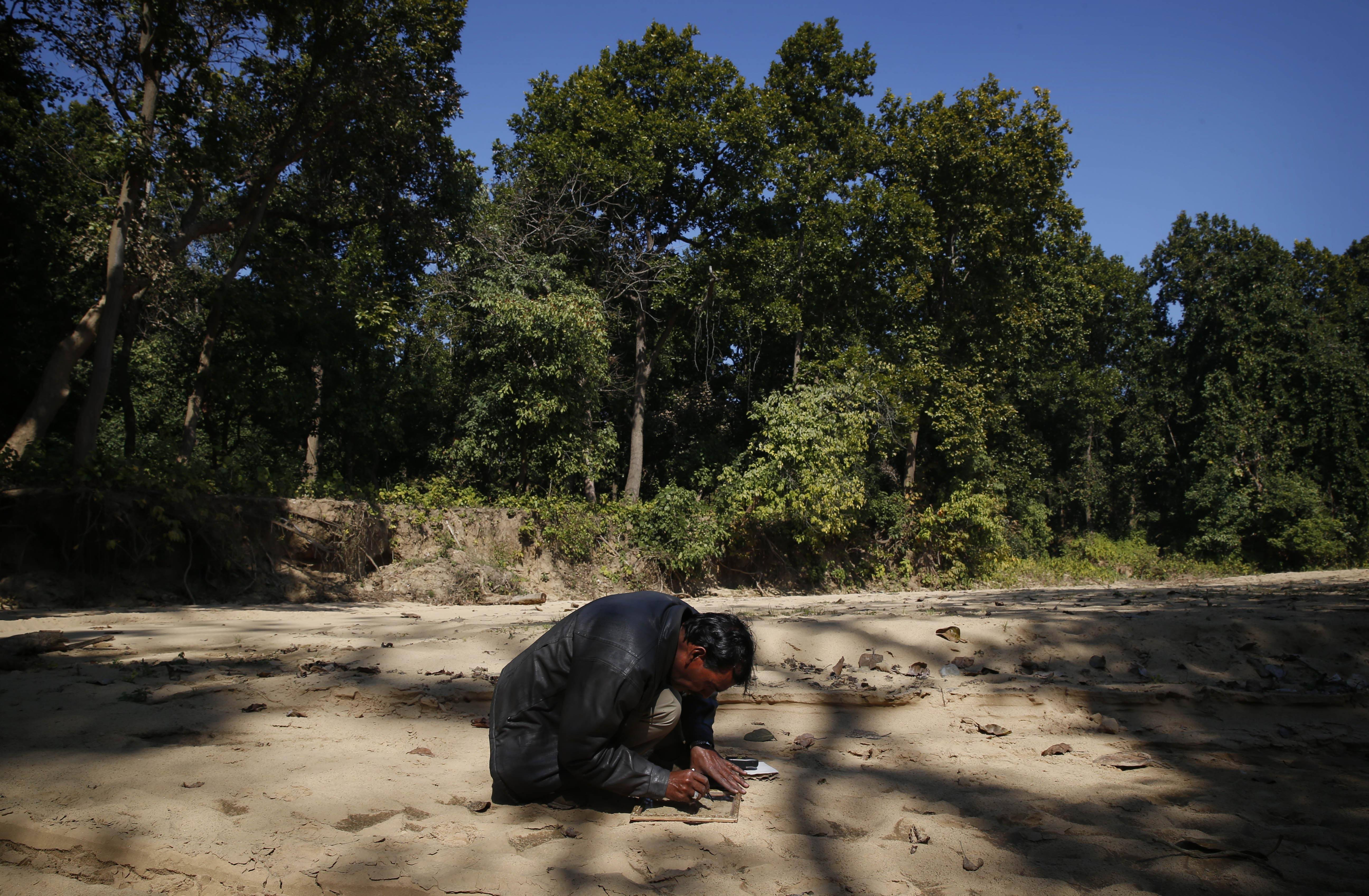 A forest official traces the outlines of the imprint of a tiger paw at the forest range of Sahuwala, in northern India. One of the challenges facing the hunters and forest officials is to properly identify the tiger that is killing human beings as the area is rich in fauna and home to several other tigers.