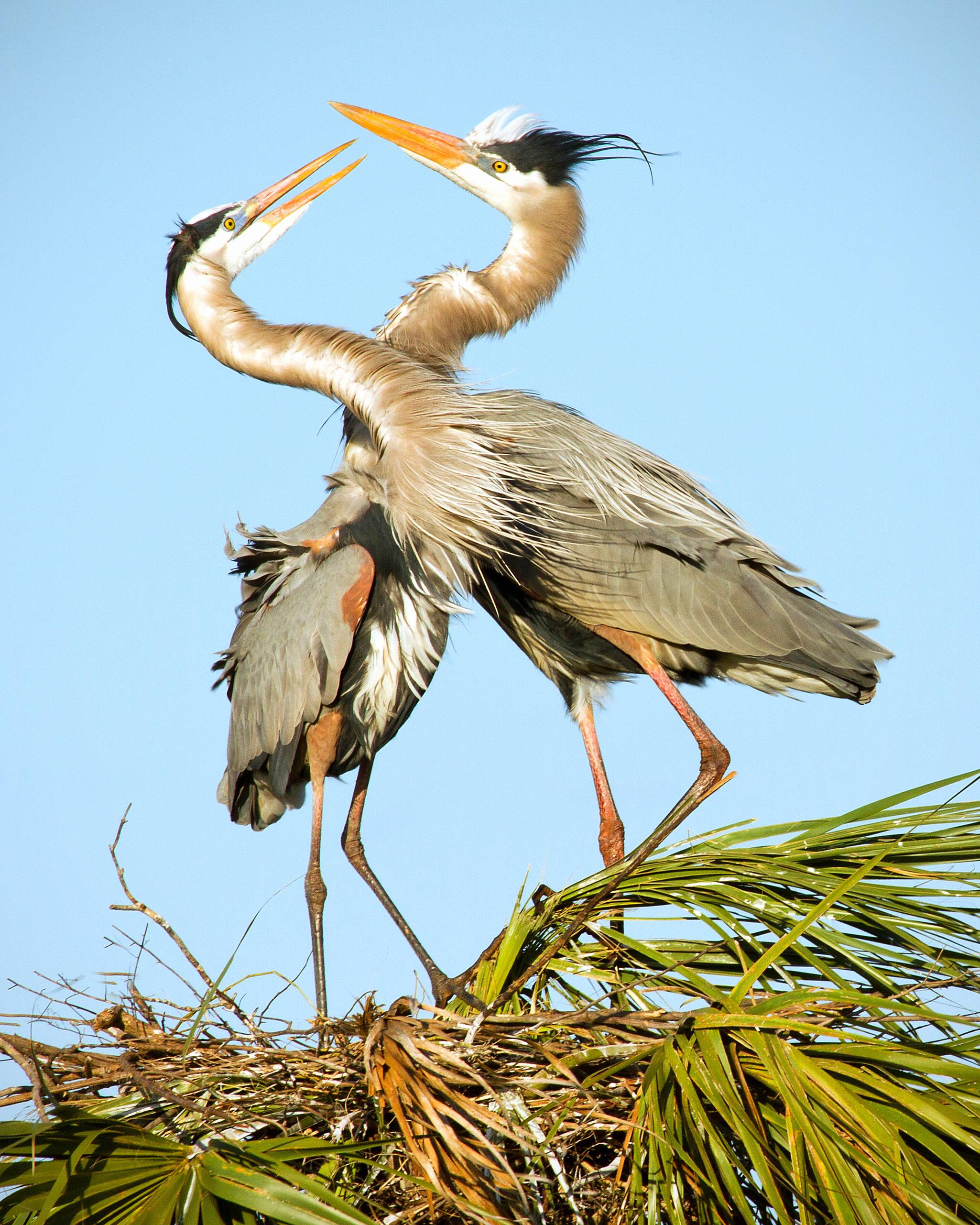 Two great blue herons build a nest in Viera Wetlands in Florida several weeks ago. The male would swoop down, carefully select building materials and then present them to the female who would accept them and then tuck them into the nest in an amazing ritual.