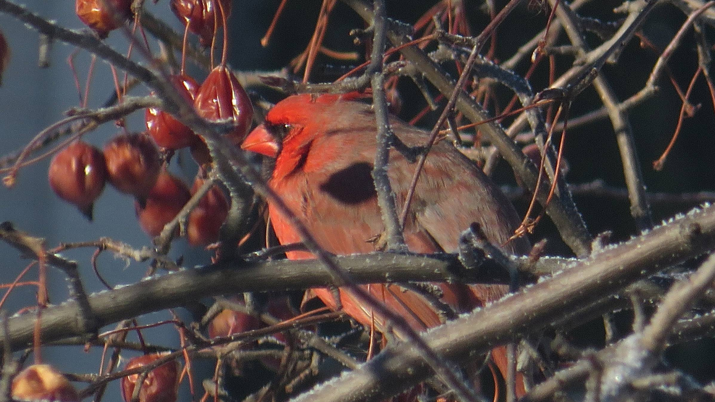 The first cardinal sighting of 2014 on the morning of February 3rd in Lake Villa. The color of the bird blends into the natural color of the crabtree and crabapples while a light frost settles on the branches.