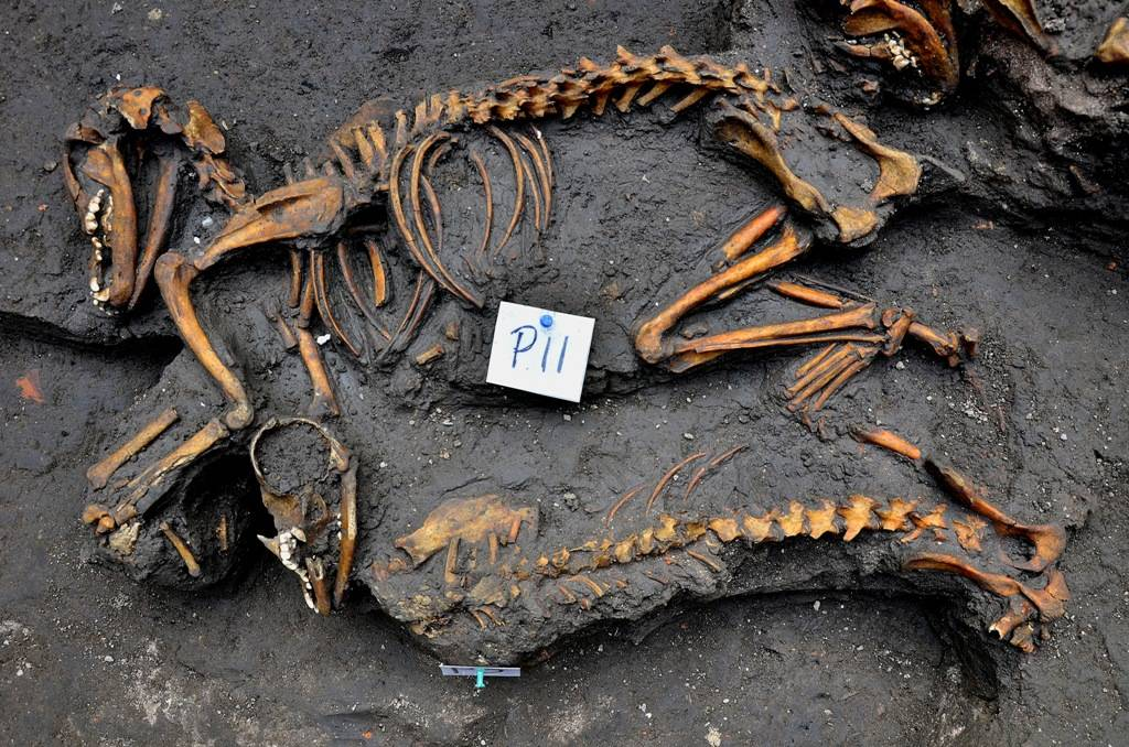 Mexico's National Institute of Anthropology and History shows canine skeletons Friday unearthed by investigators in Mexico City.
