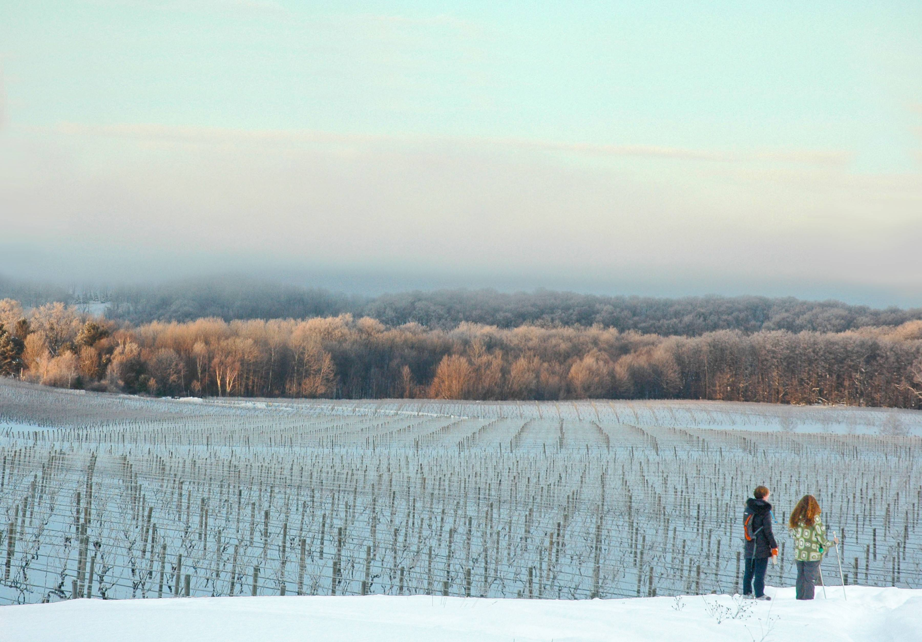 Ski or snowshoe between wine vineyards in Traverse City, Michigan.