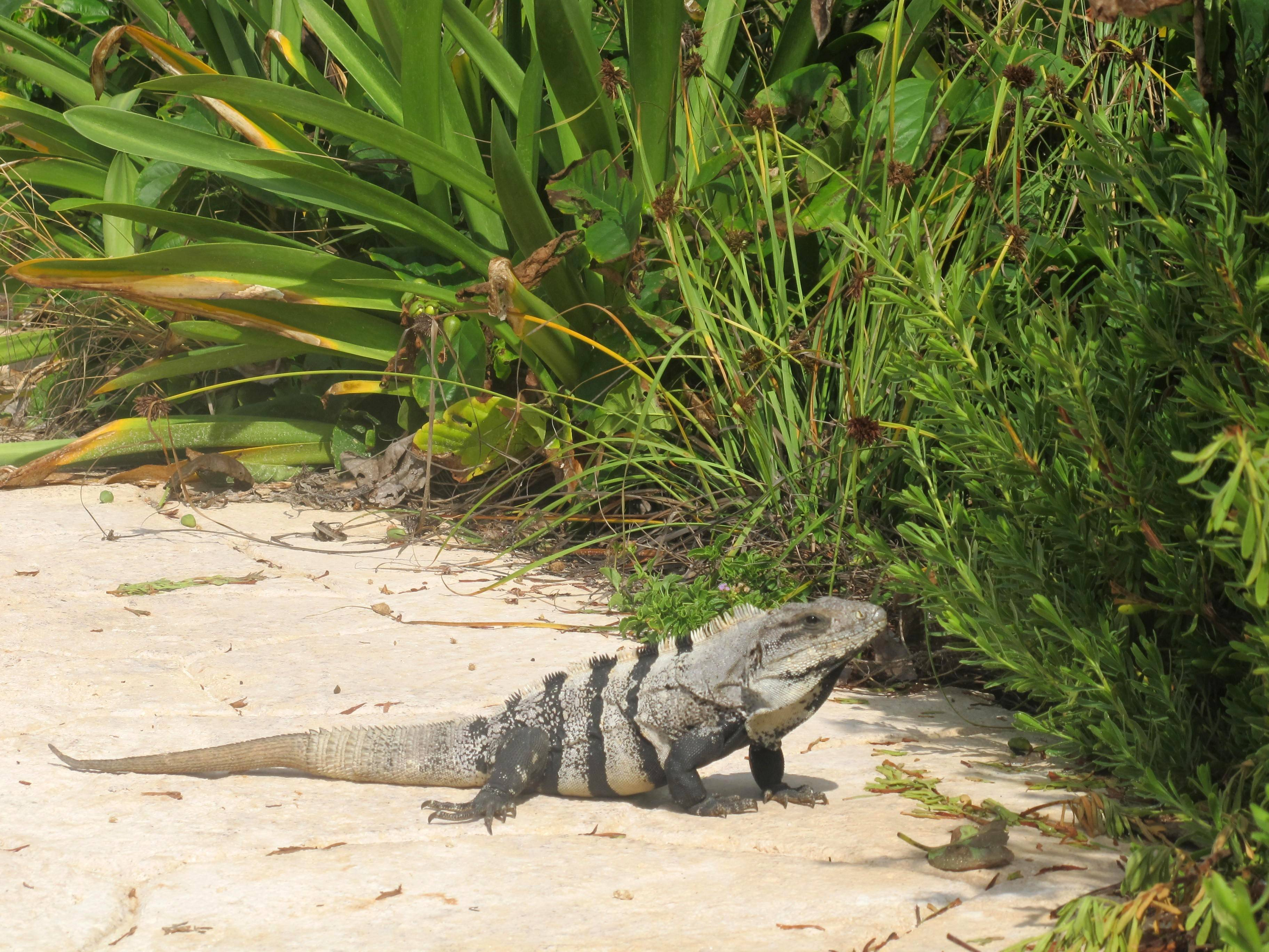 An iguana basks in the sun on the Mexican island of Isla Mujeres. The lizards are a common sight on the island, especially at the southernmost tip, known as Punta Sur.