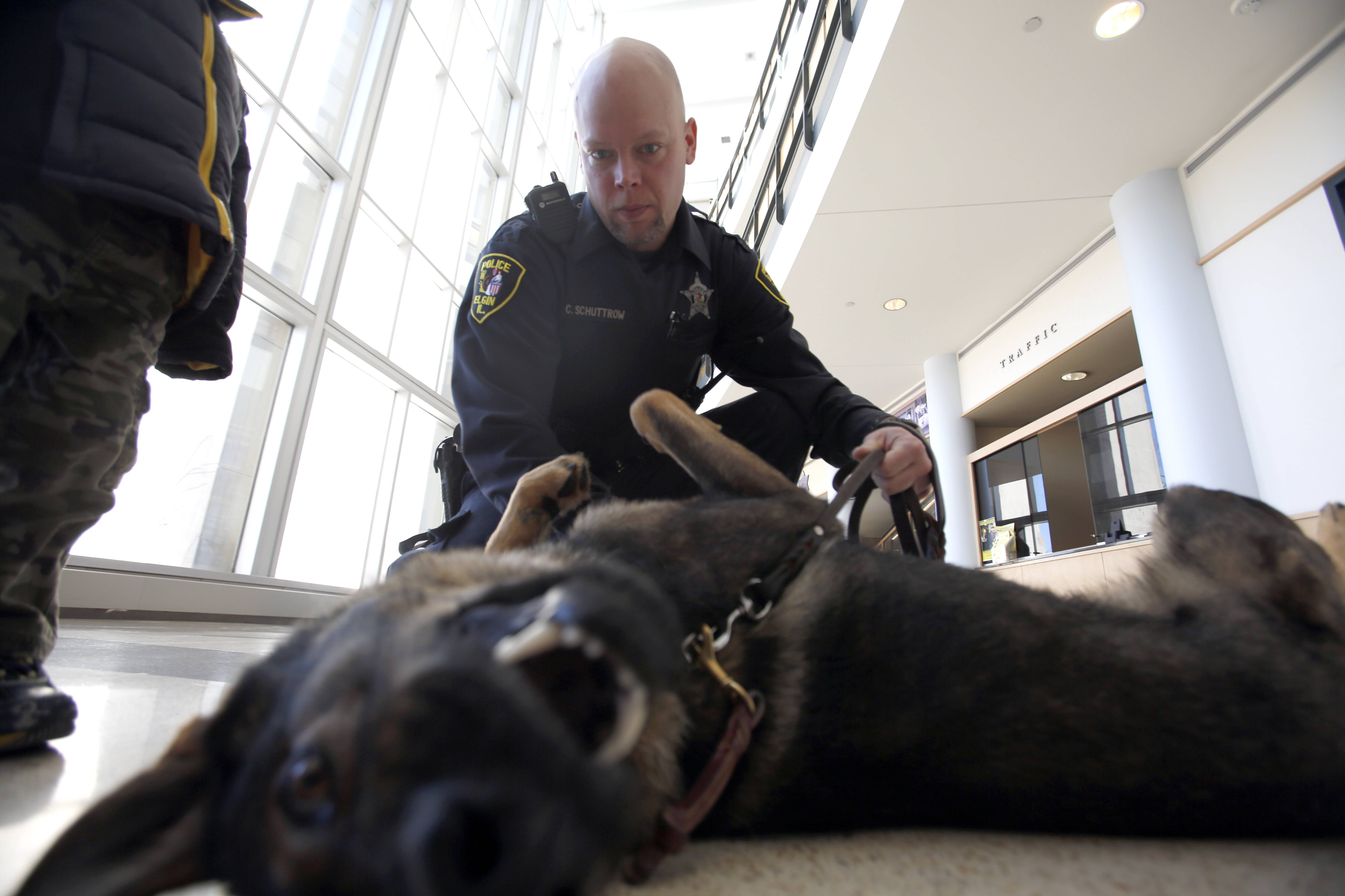 Colt, the newest addition to the Elgin Police Department, gets comfortable in the lobby of the police station. Officer Chad Schuttrow is his handler.