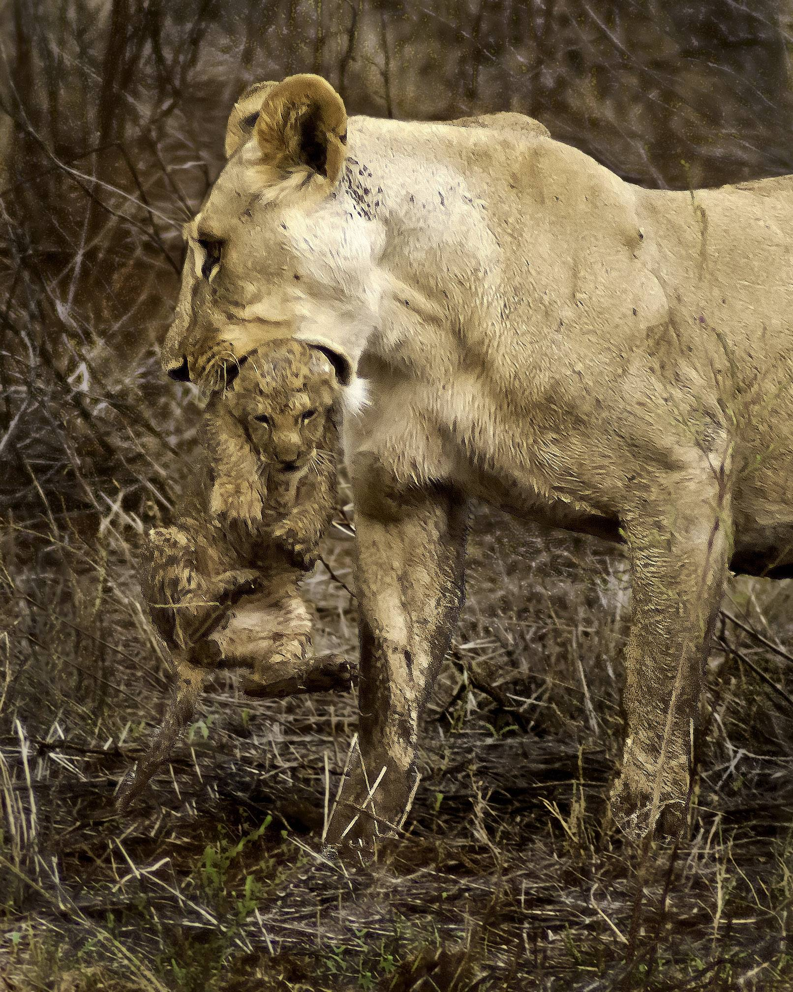 A lioness carries one of her cubs across a stream in Kenya as the other three followed behind. The mothers coaxed the other three to cross the stream on their own.