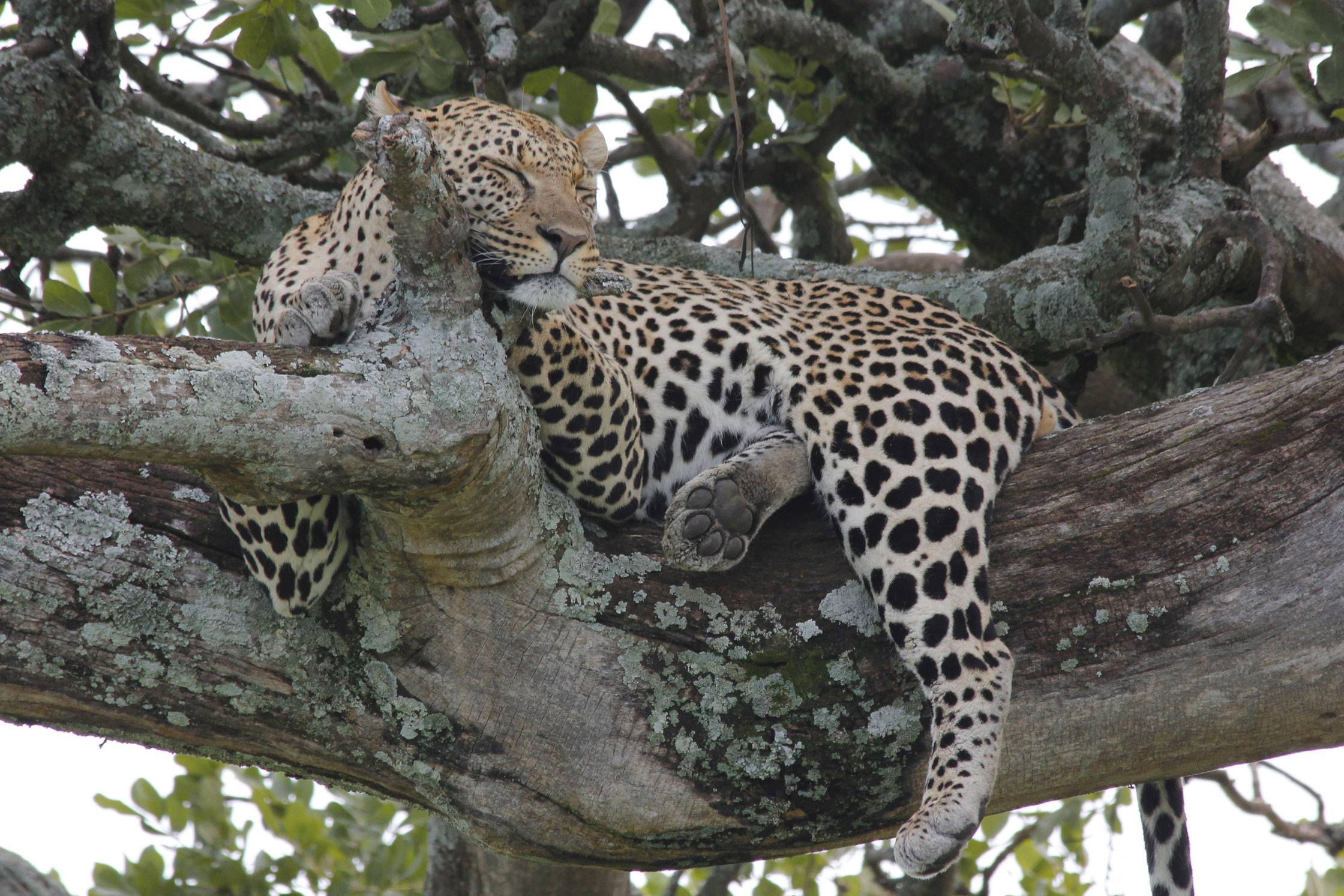 A leopard sleeps in a tree in Serengeti National Park, Tanzania, Africa this past January. Leopards spend most of their non-hunting time resting in trees, sometimes with their kill.