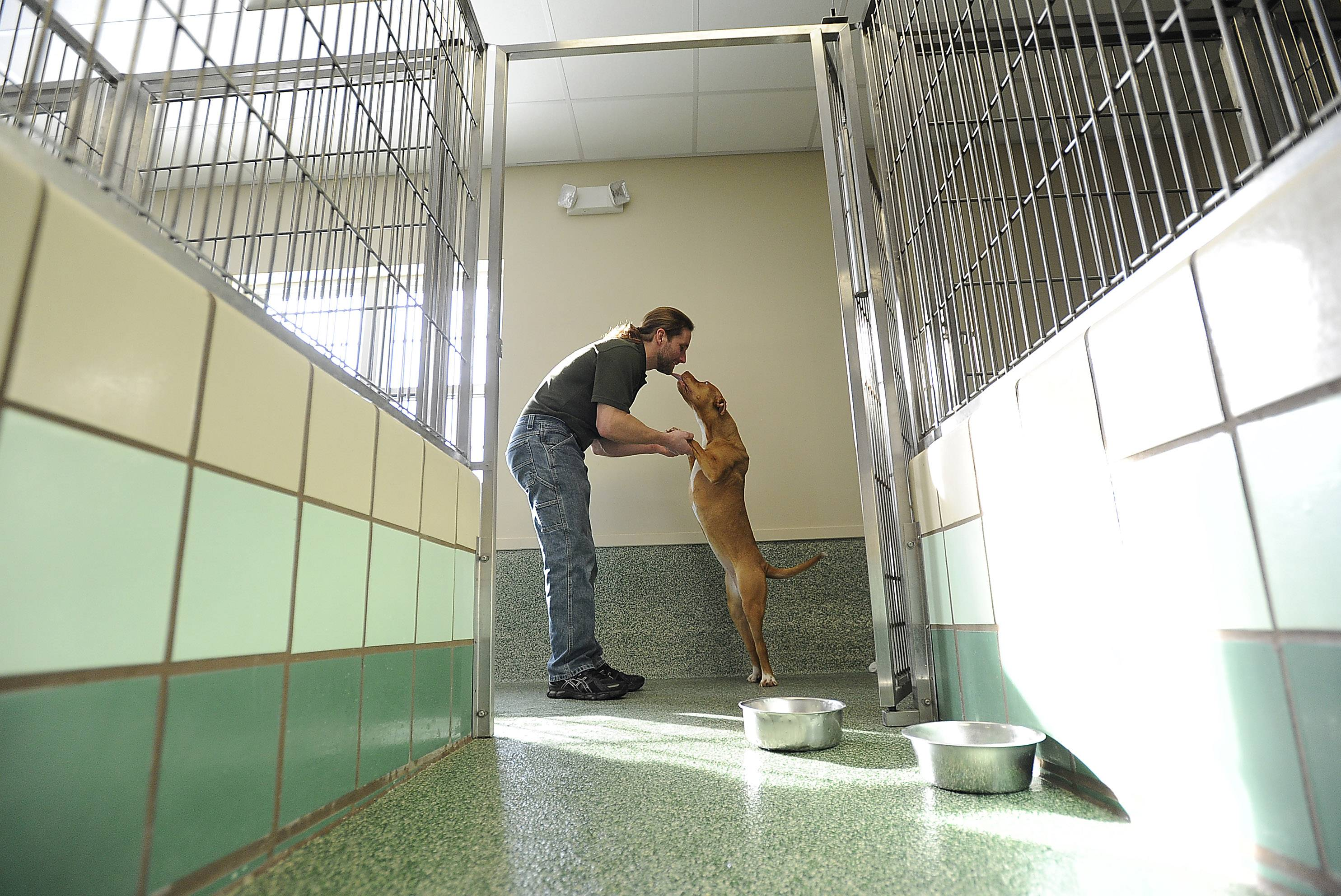 Charles Bulson, administrator for Golf Rose Animal Hospital in Schaumburg, checks in on a pit bull known only as No. 4889, from Elgin. Golf Rose contracts with about a dozen towns to rescue strays or hoarded animals.