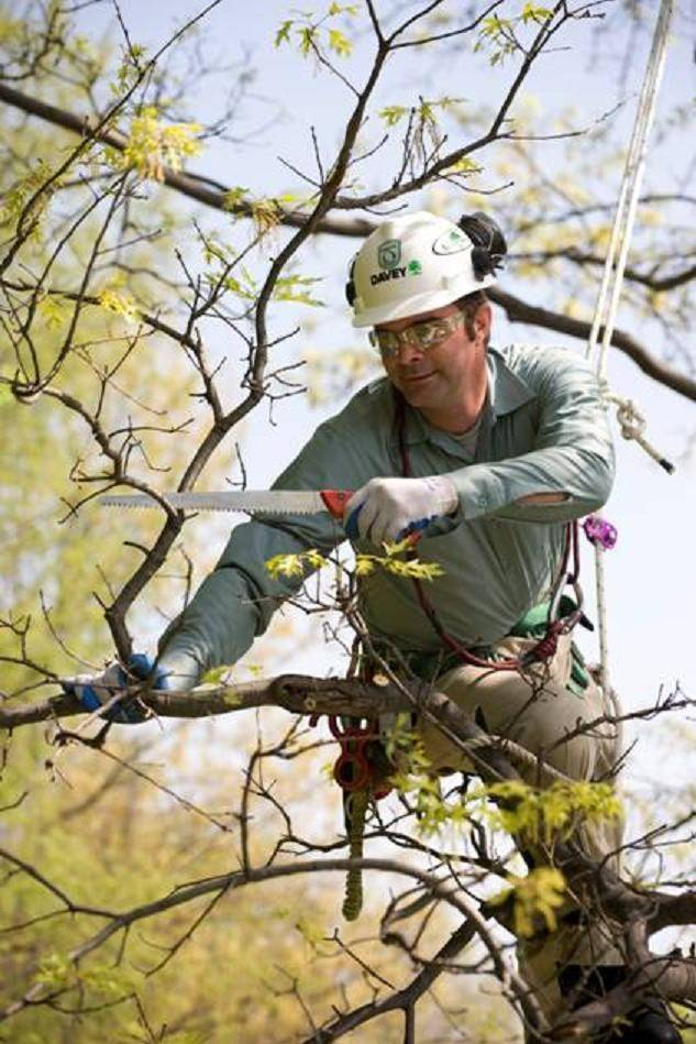 """You want to open up the (tree's) canopy so there is less resistance to the wind,"" said Glazebrook said Jim Glazebrook, a certified arborist with The Davey Tree Expert Co."
