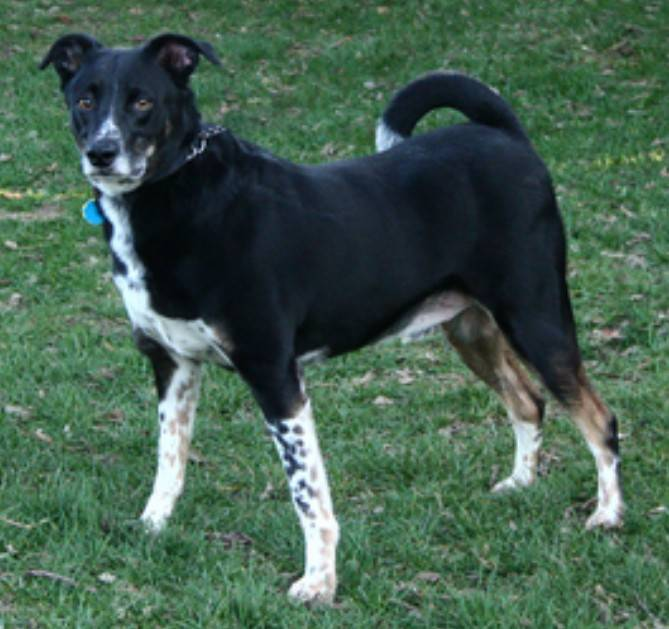 Flipps is an 8-year-old, male cattle dog mix, who weighs about 59 pounds.