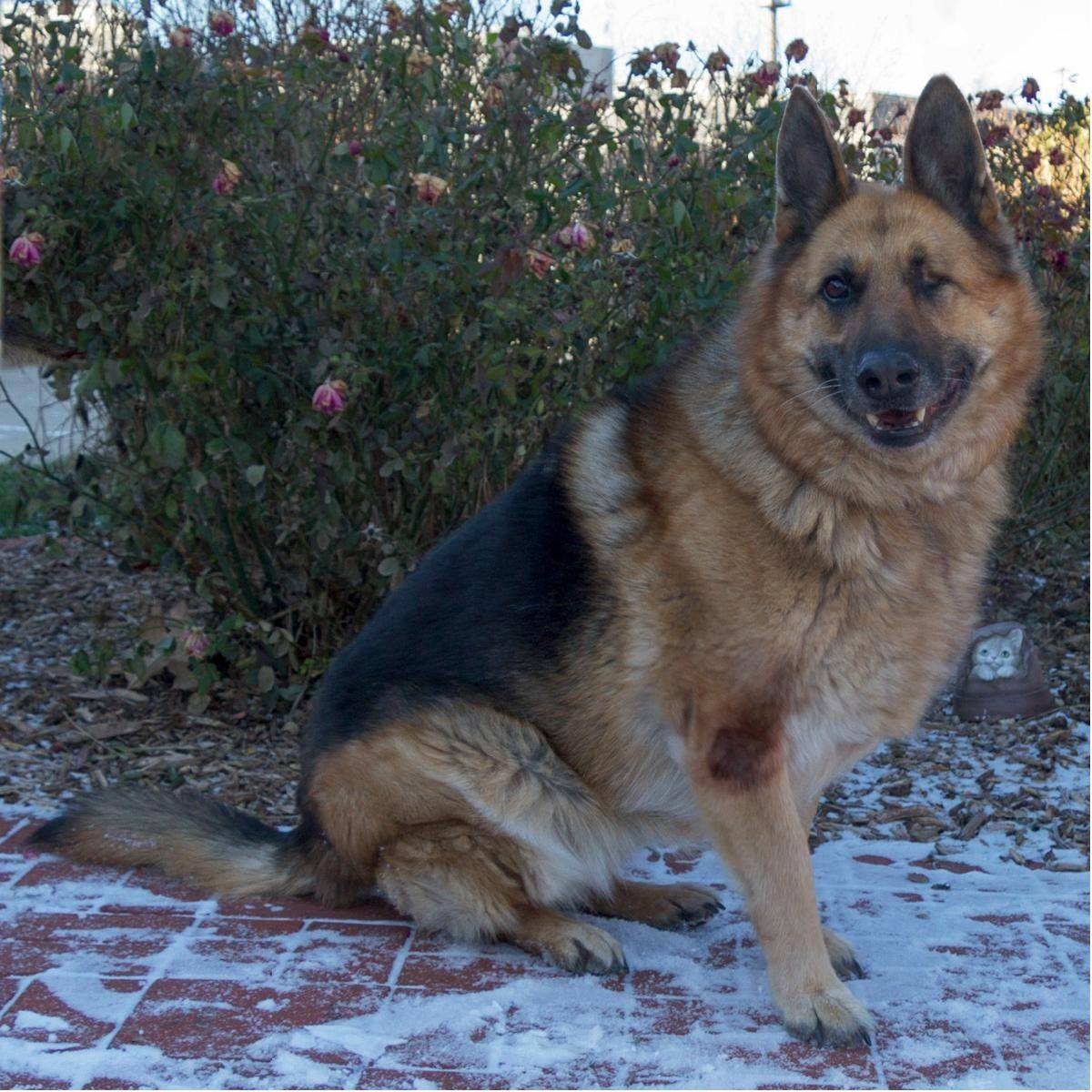 Reyna, is a 6-year-old, female shepherd, who weighs about 80 pounds. She is in foster care, so please call ahead to make arrangements to meet her.