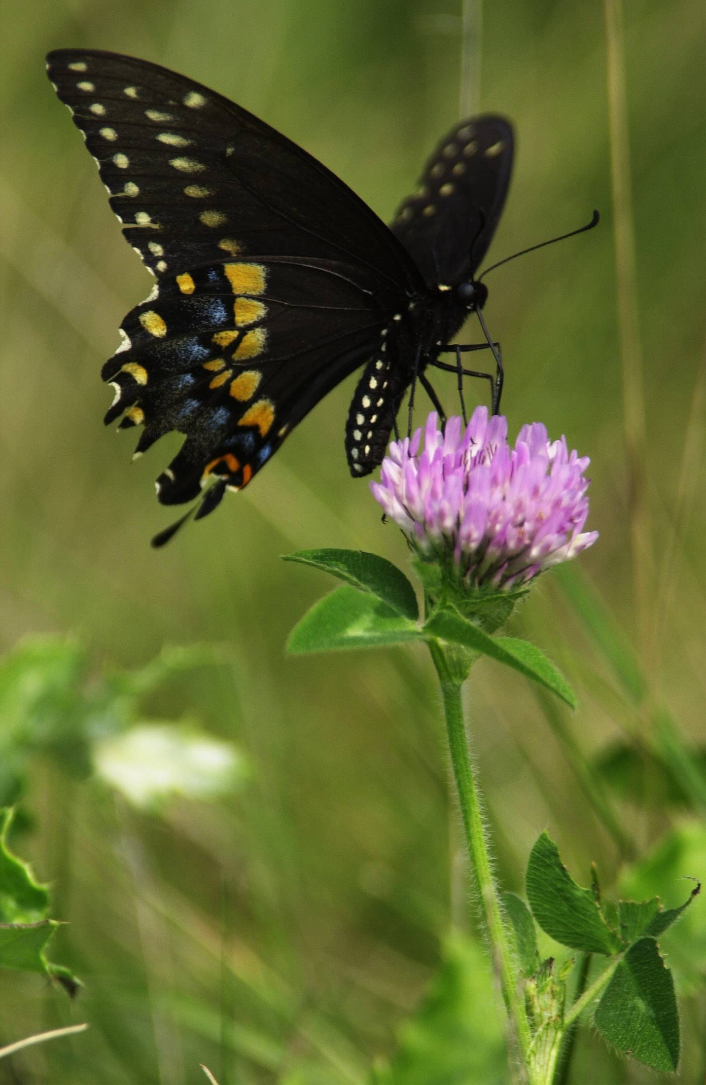 Like to shoot pictures of nature? This Eastern Black Swallowtail butterfly was shot sitting on a clover blossom in the Grassy Ridge Meadow Forest Preserve in Hoffman Estates, where a Photo Meet-Up will be held on May 24.