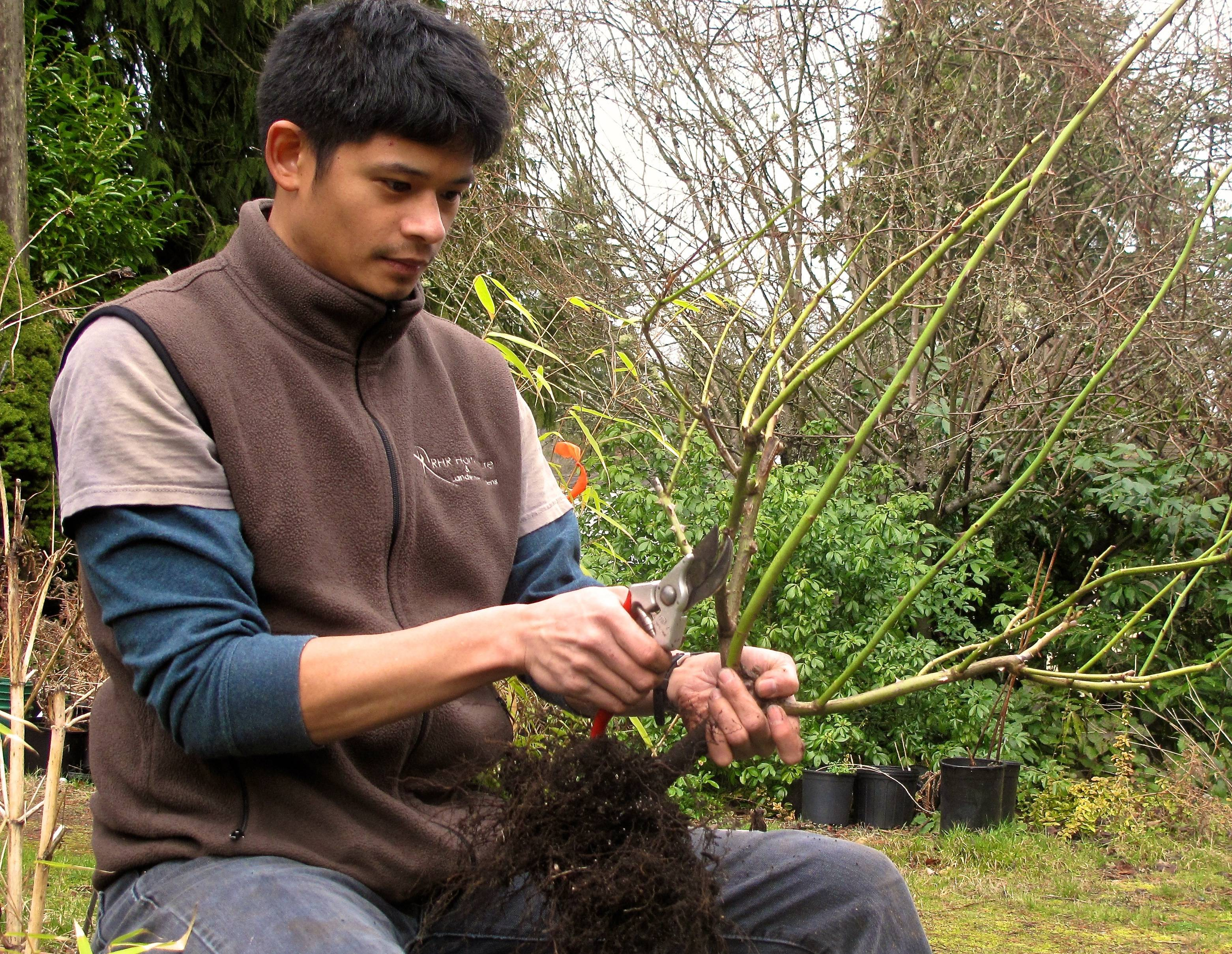 Rizanino (Riz) Reyes, a horticulturist, gives a rose bush some last-minute pruning before putting it in the ground. Avoid plants that need to be pruned for anything beyond minor cosmetic touches.