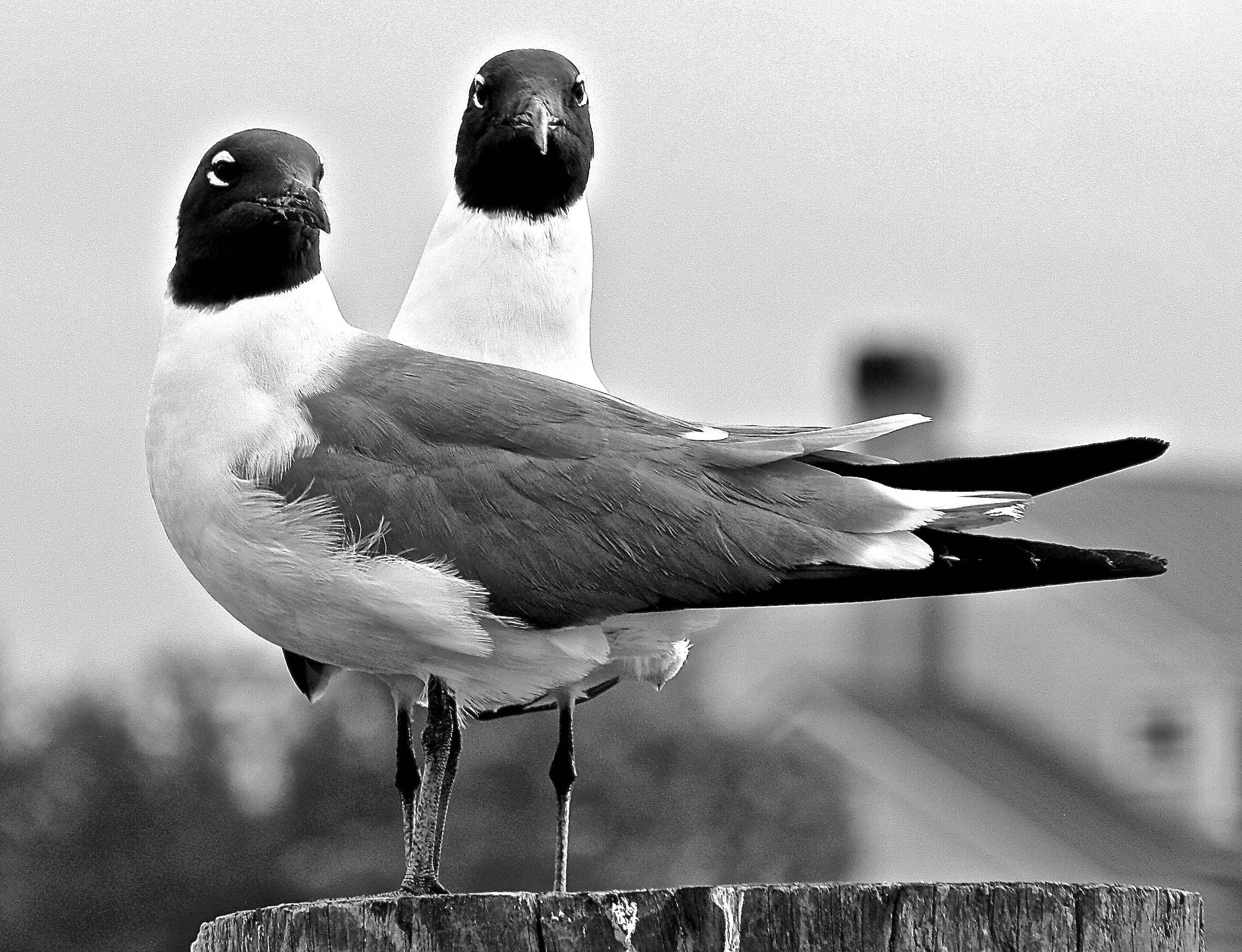 Two gulls sit on a post next to a river in Charleston, South Carolina on the lookout for a free meal.