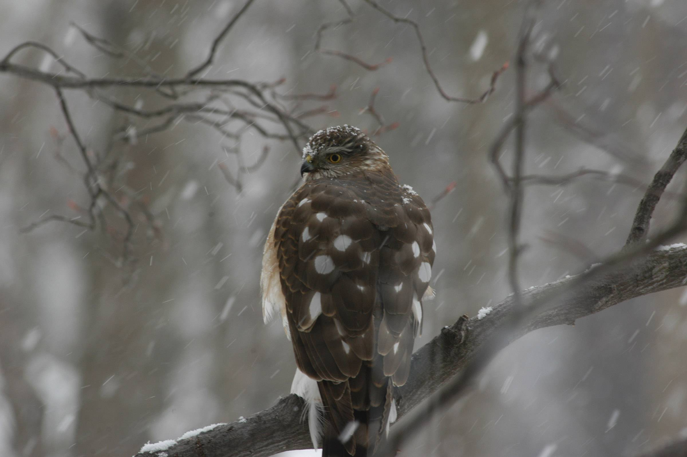 A hawk sits on a branch as it snows in Palatine last month.