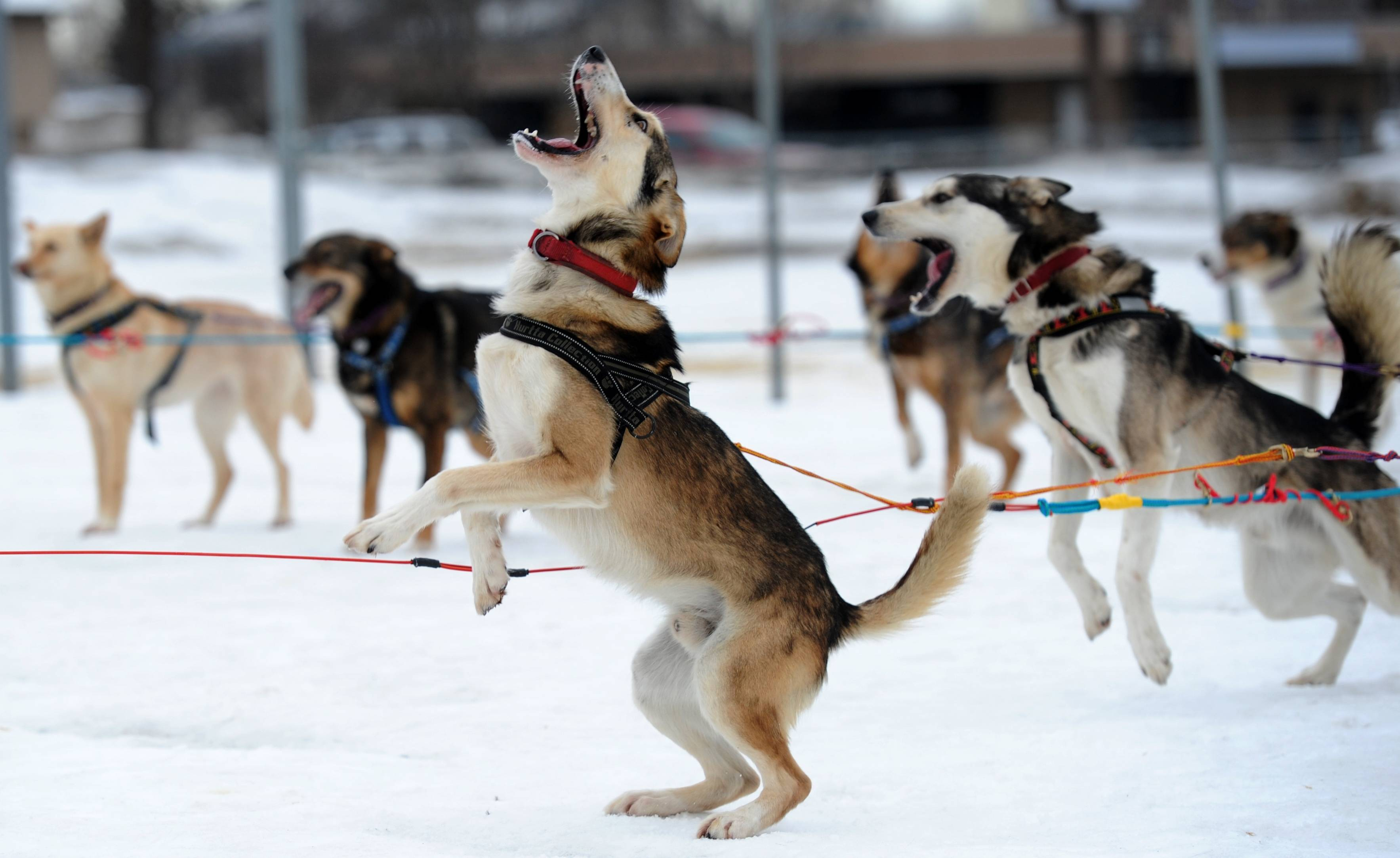 Saki is ready to go as Iditarod musher Michelle Phillips of Tagish, Yukon, takes her dogs out for a run.